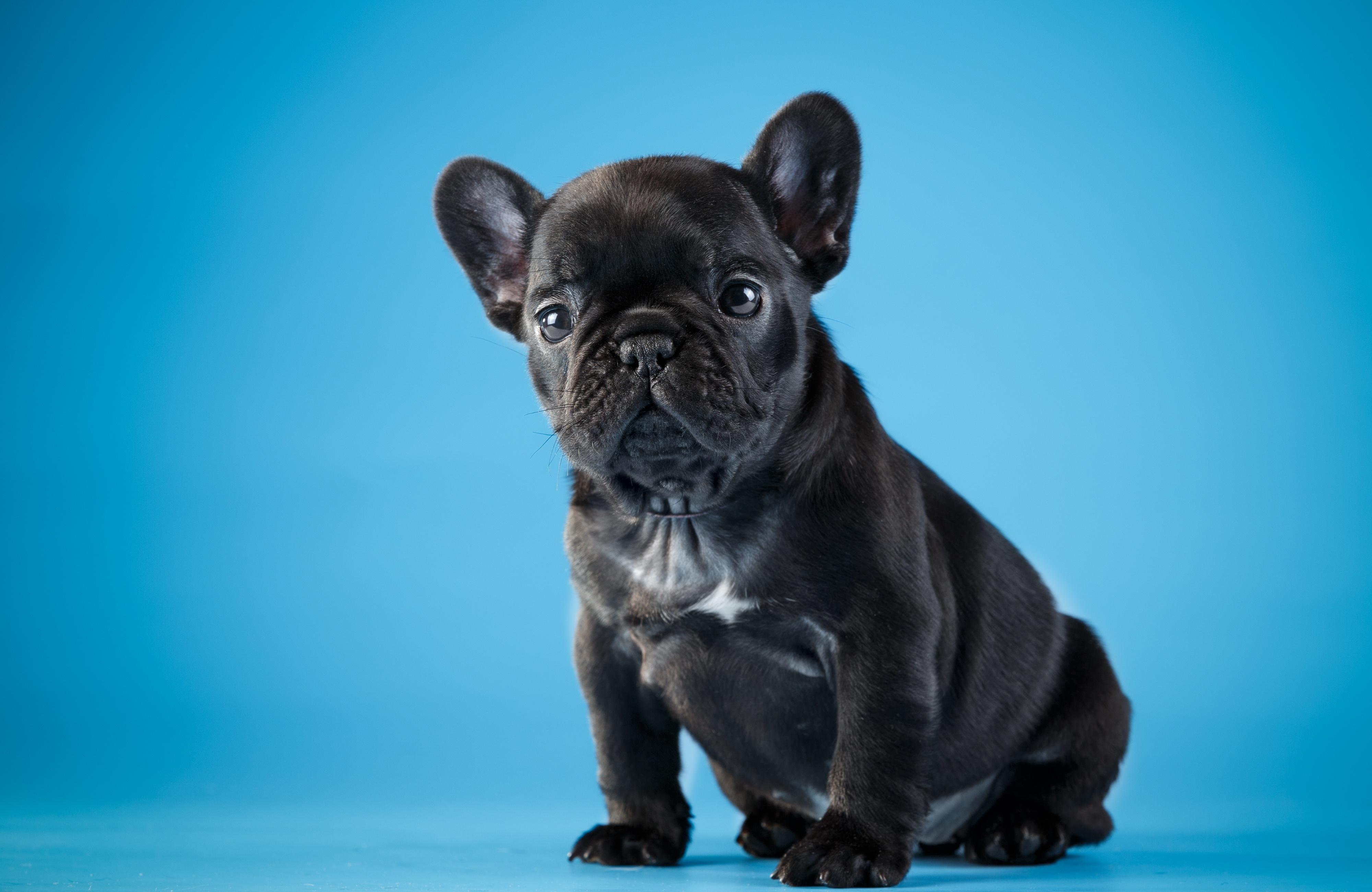 Собака животное французский бульдог  № 2228235  скачать