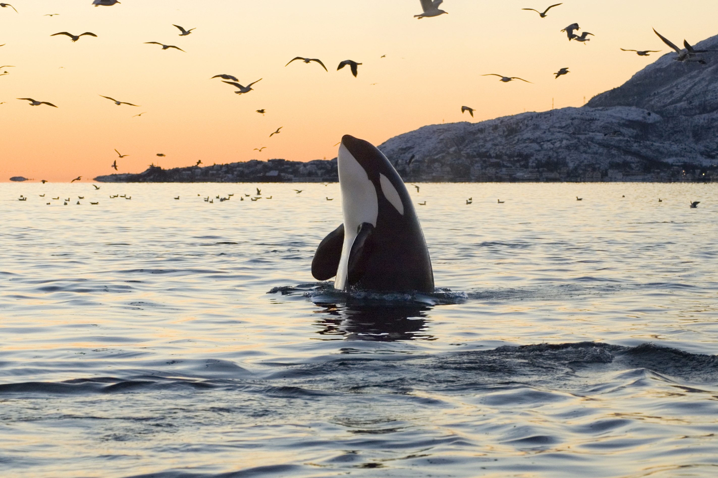 bowhead whale wikipedia