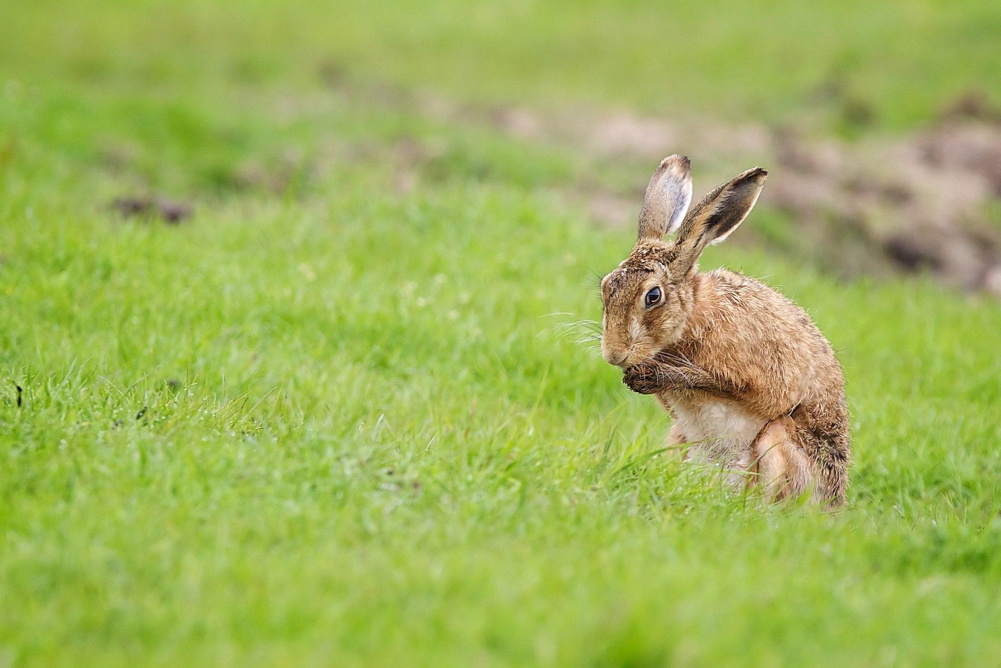 природа животные заяц nature animals hare  № 103320 без смс