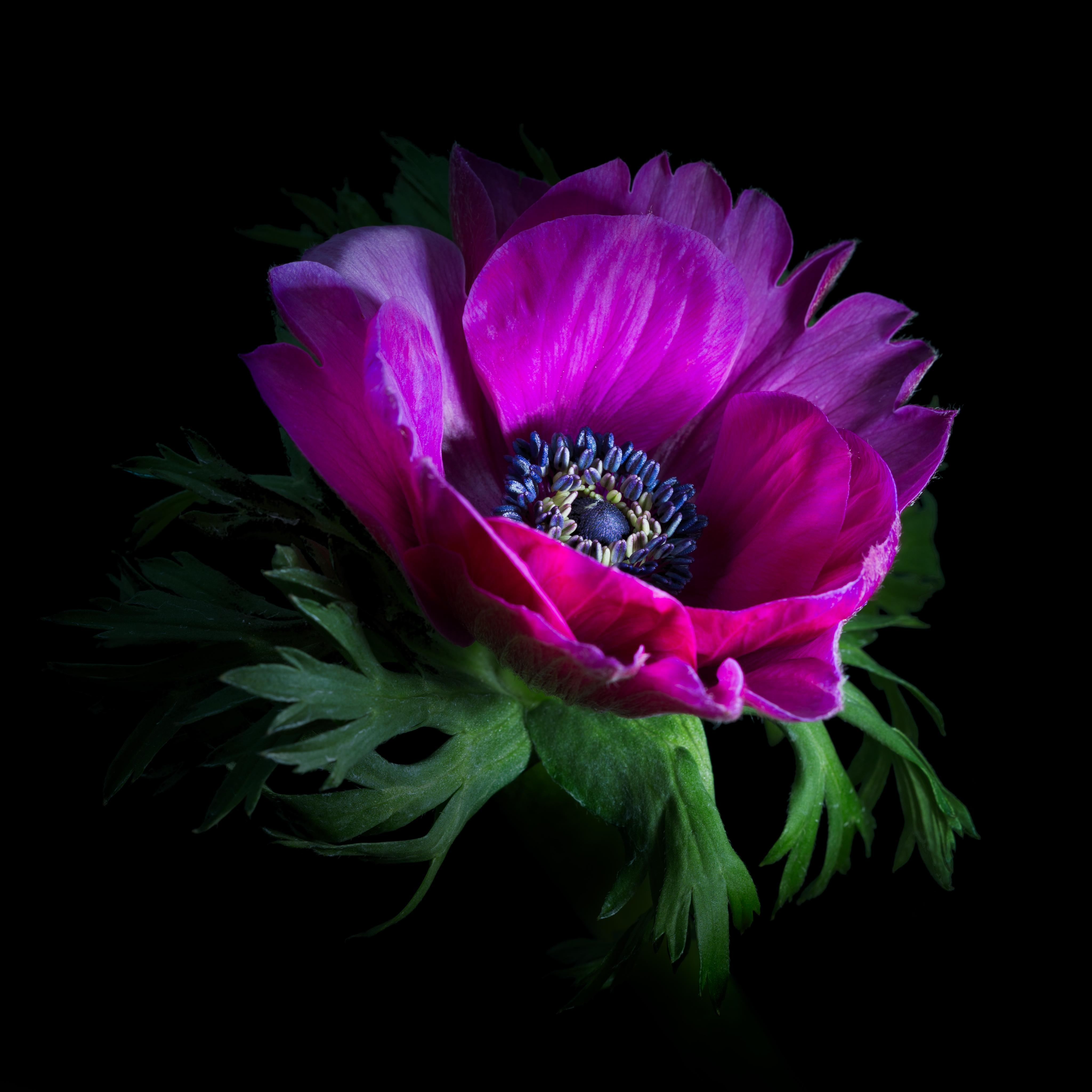 Картинки фиолетовый цветок на черном фоне