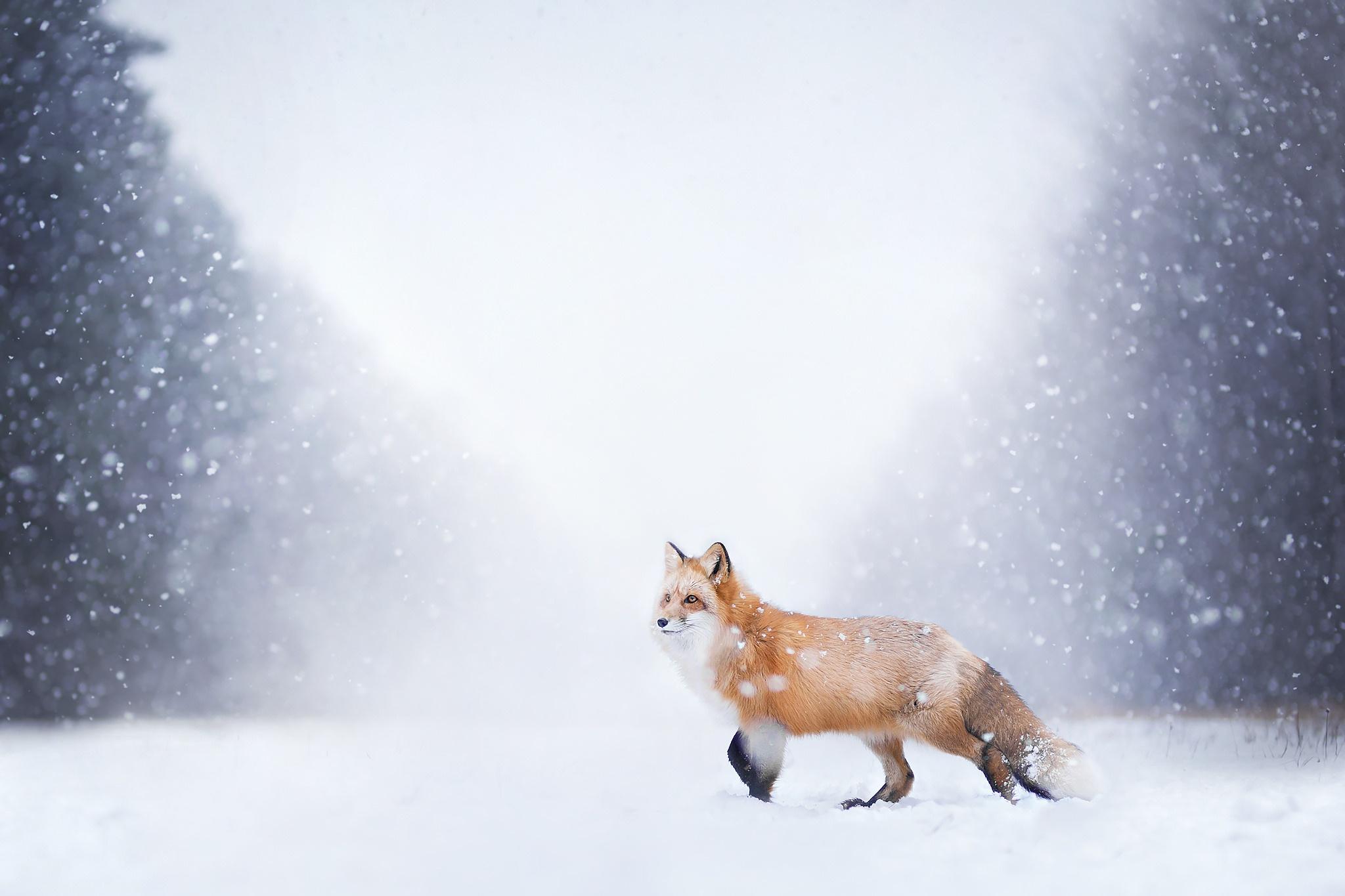 лиса природа животное снег зима без смс