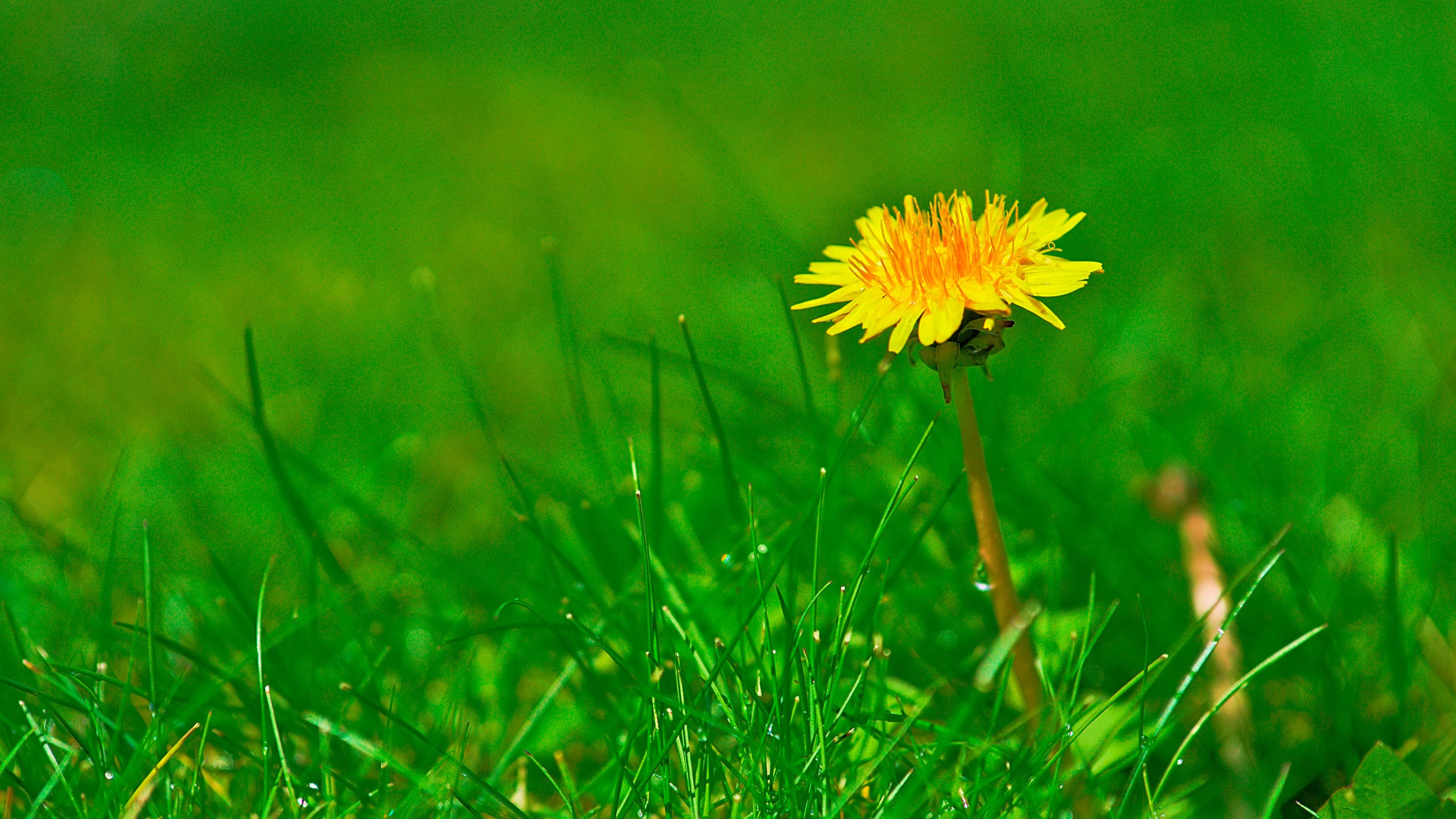 одуванчики трава без смс