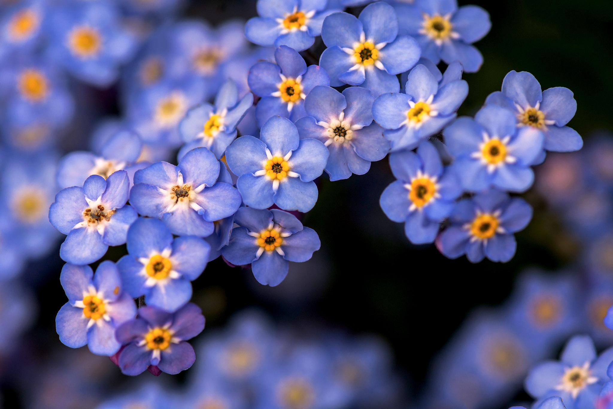фото цветов незабудок весенний маникюр выберут