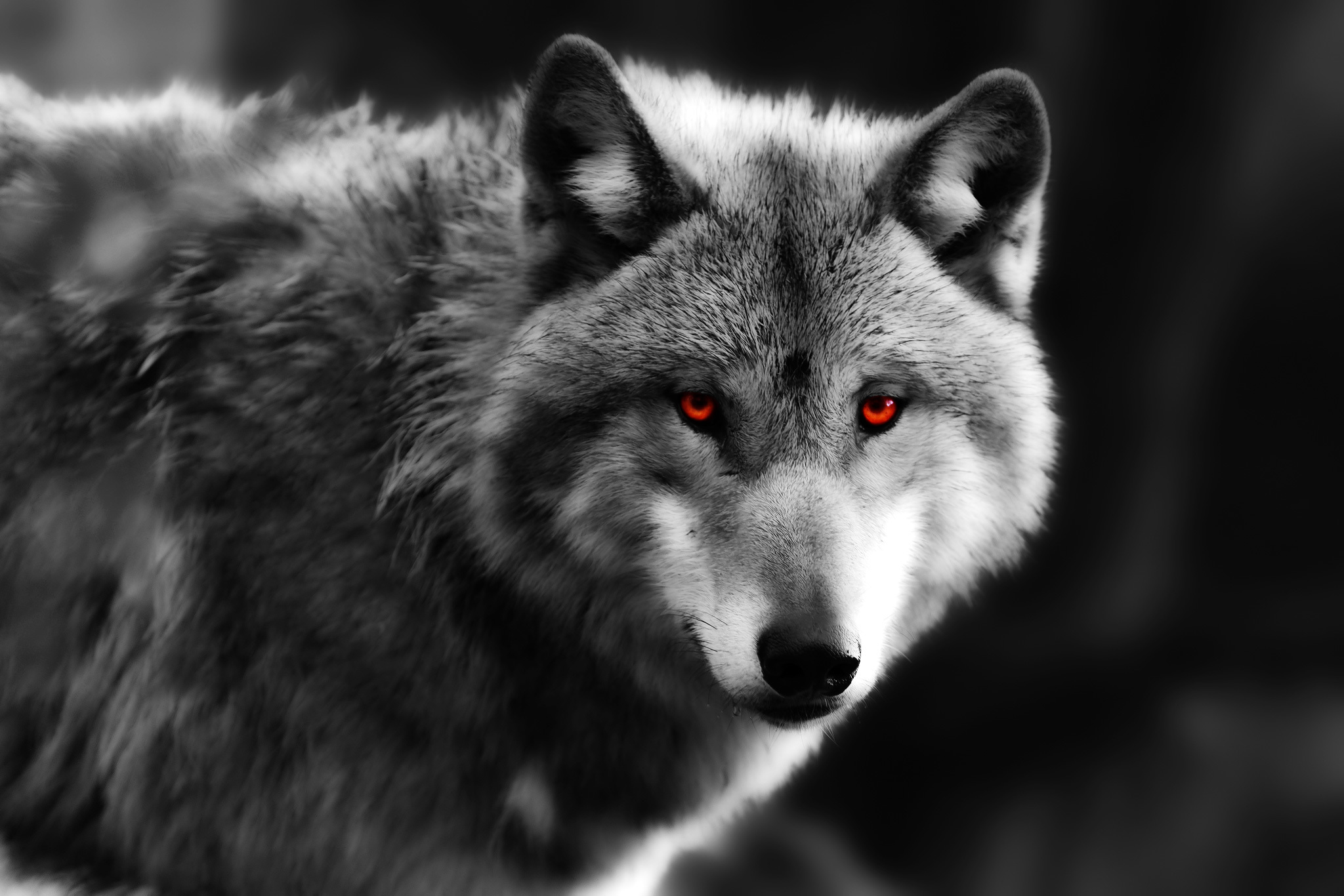 Wolf pictures black and white