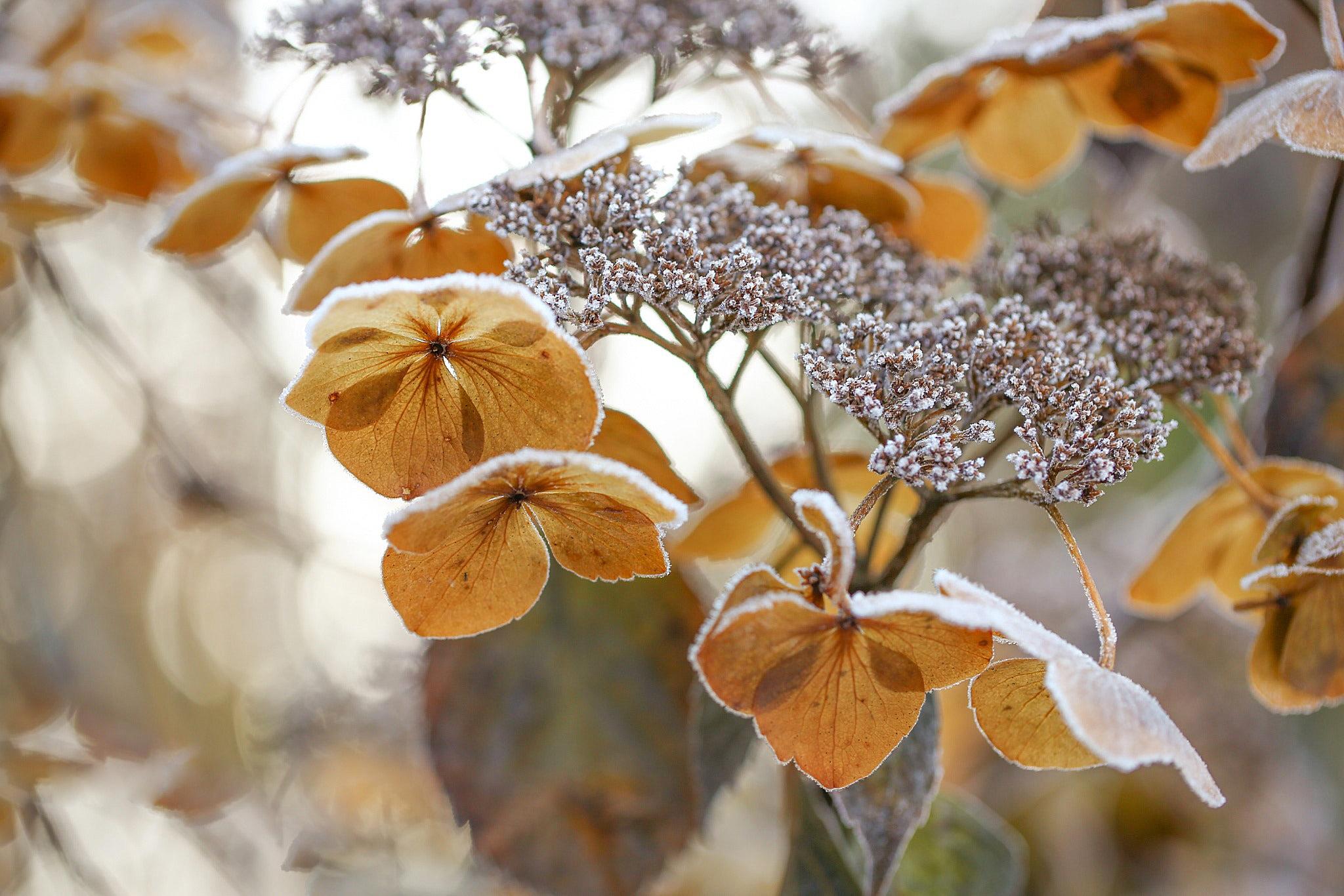 Цветы в инее бесплатно
