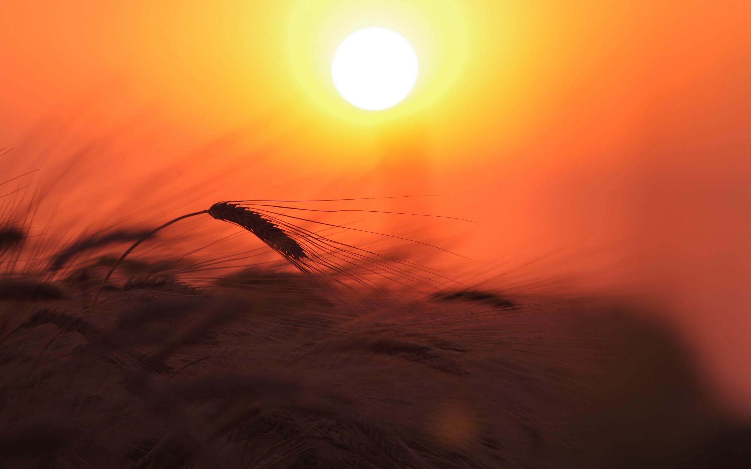 природа колосья рассвет небо скачать