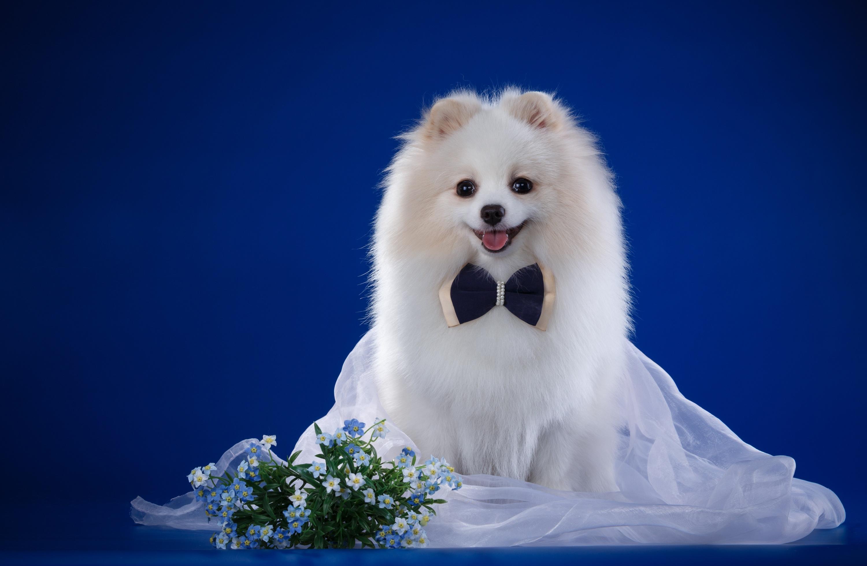 что картинки собак шпиц белых даже получил