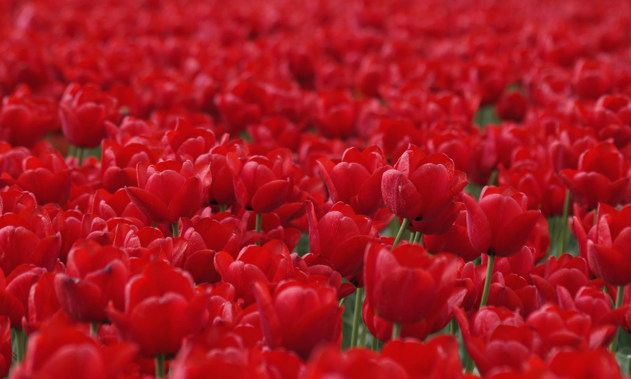 красные тюльпаны бутоны цветы загрузить