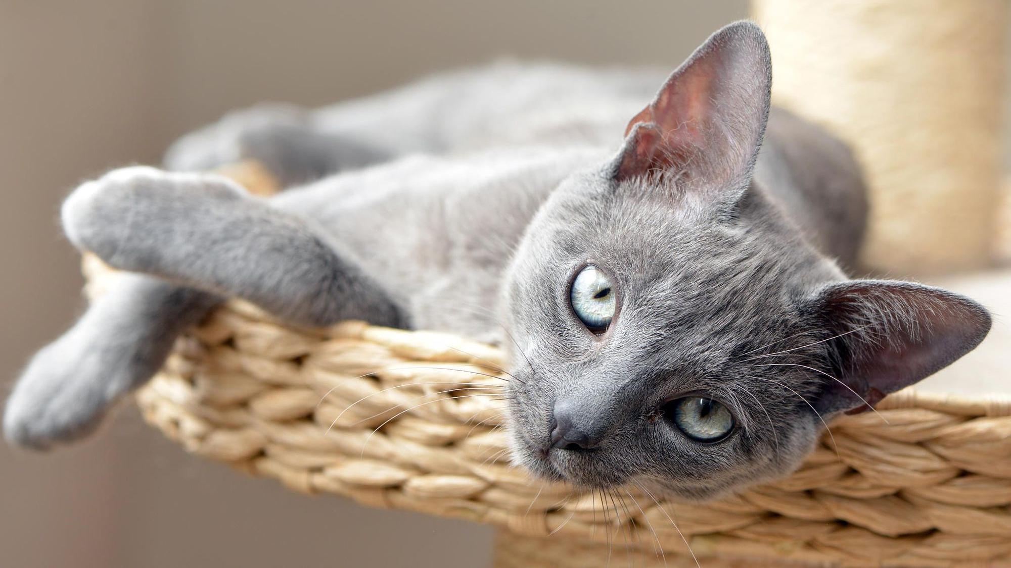 котенок дымчатый kitten smoky  № 2344430 бесплатно