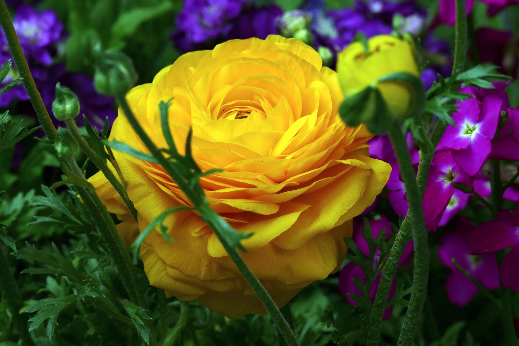 хотя марк лютики цветочки фото между