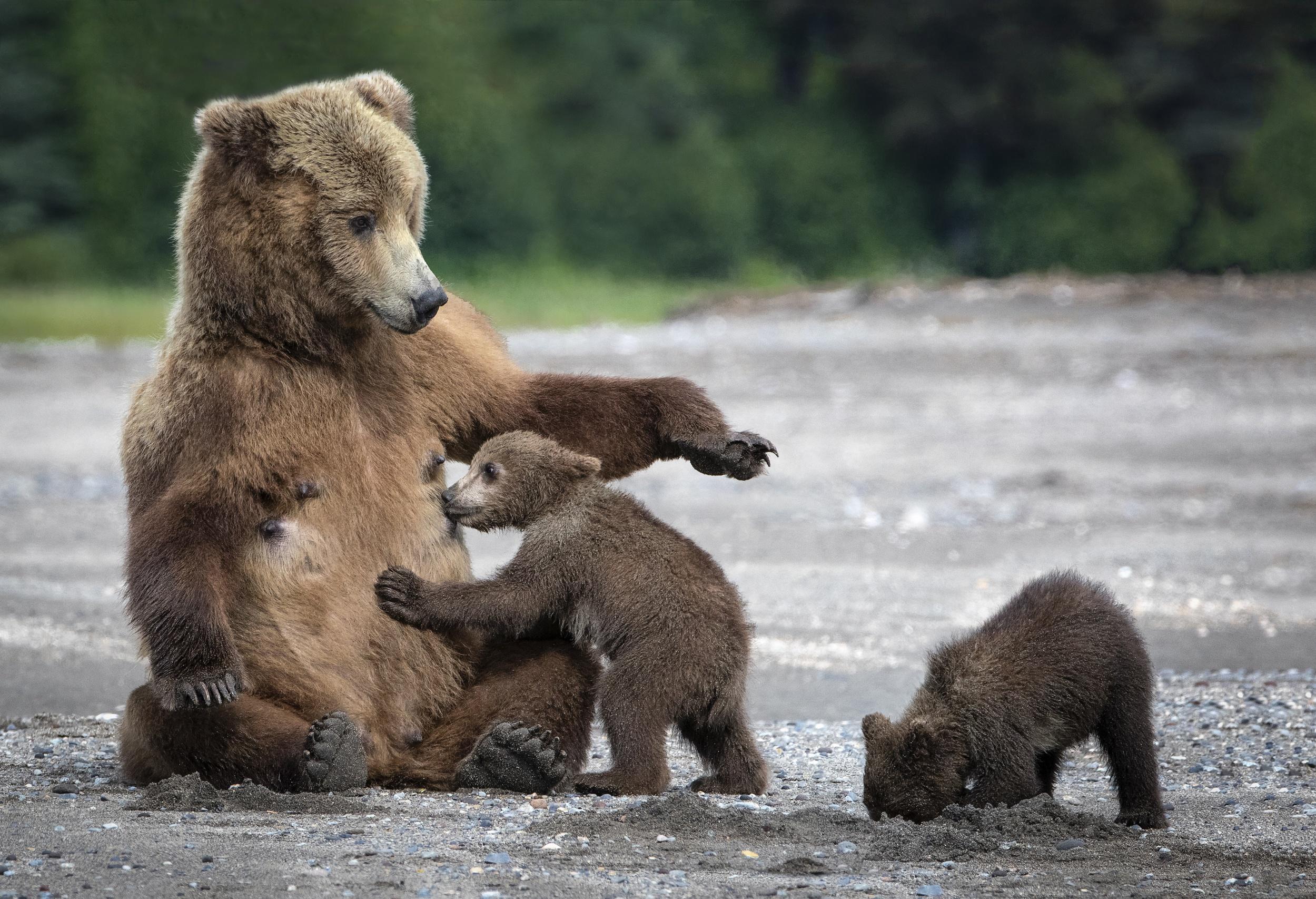 Картинка медведицы с медвежатами