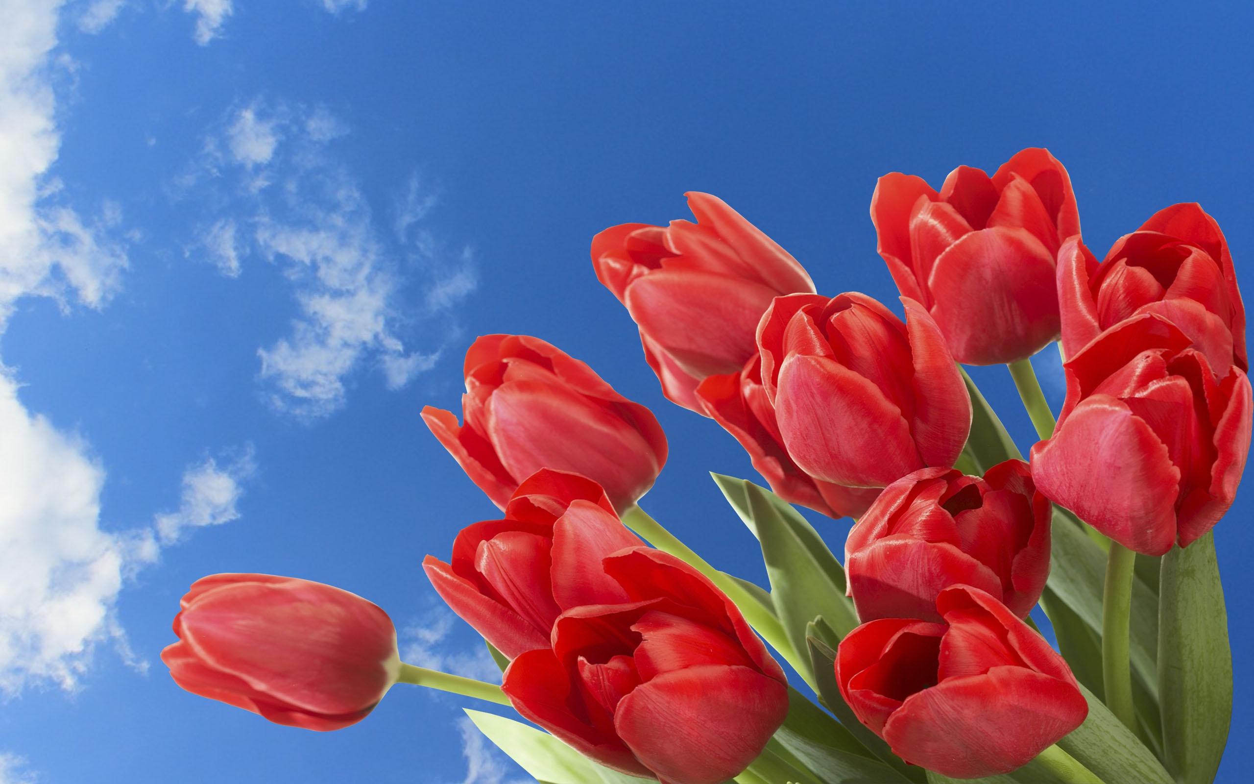 тюльпаны весна цветы бесплатно