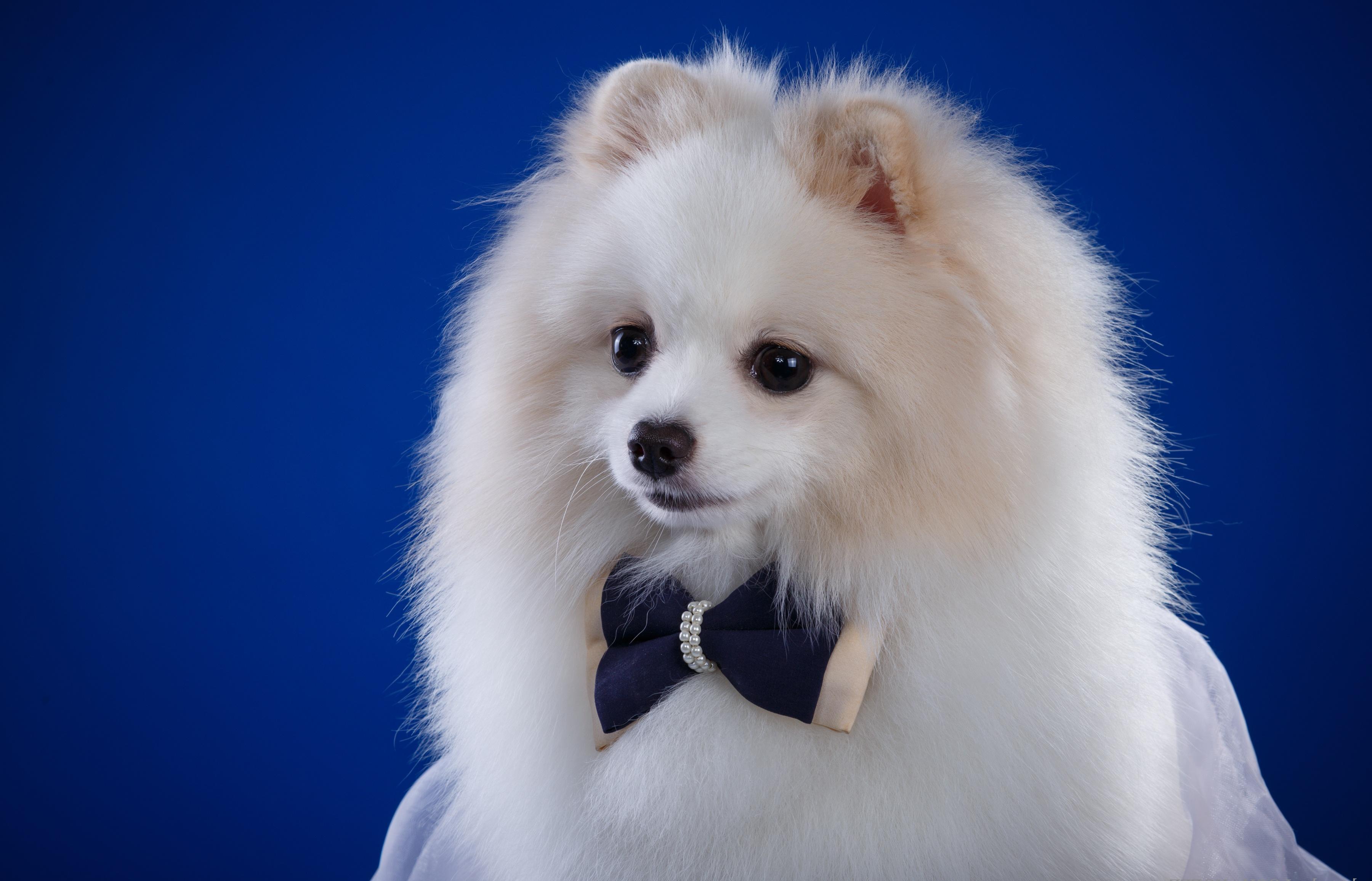 белые собаки щенки животные розовый фон  № 2918117 загрузить