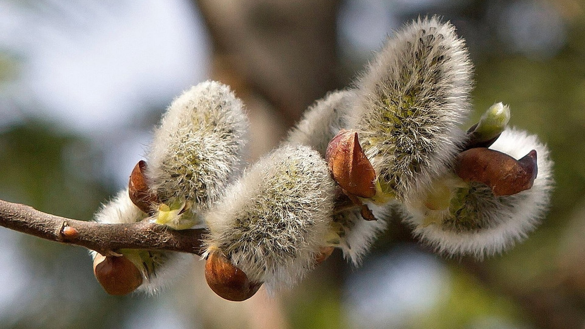 Весна фото природа верба