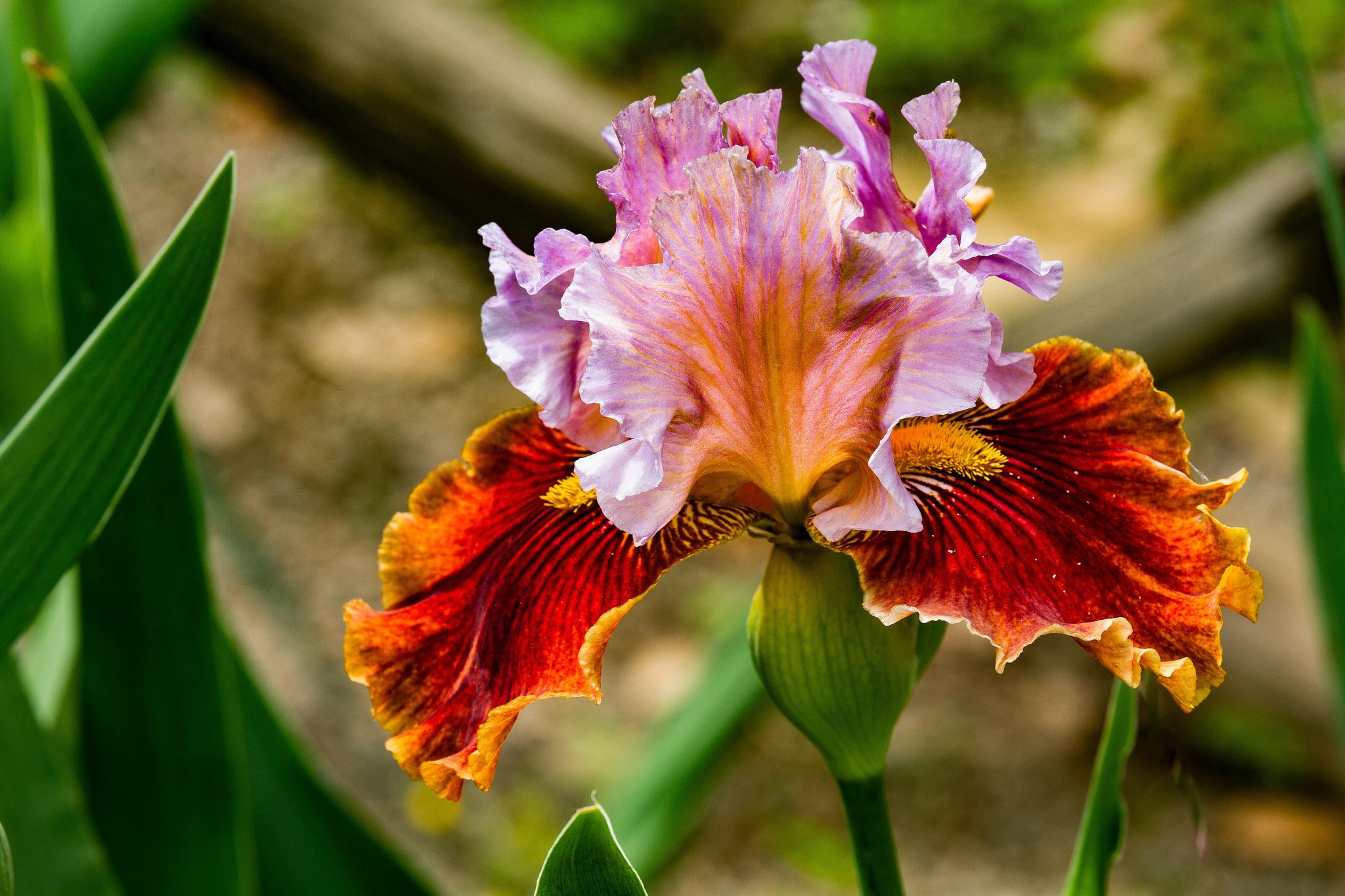 Картинки с цветком ирис