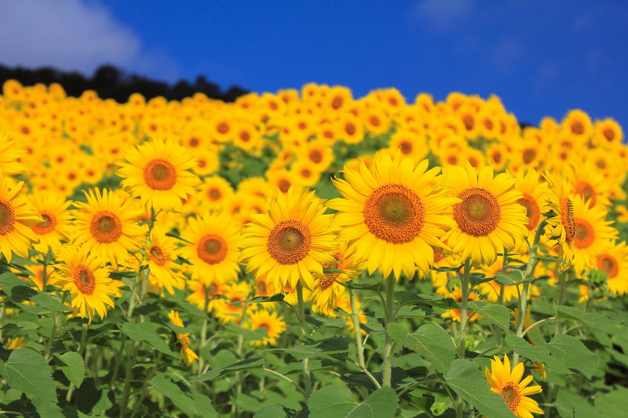 природа цветы подсолнечник  № 2671878 загрузить