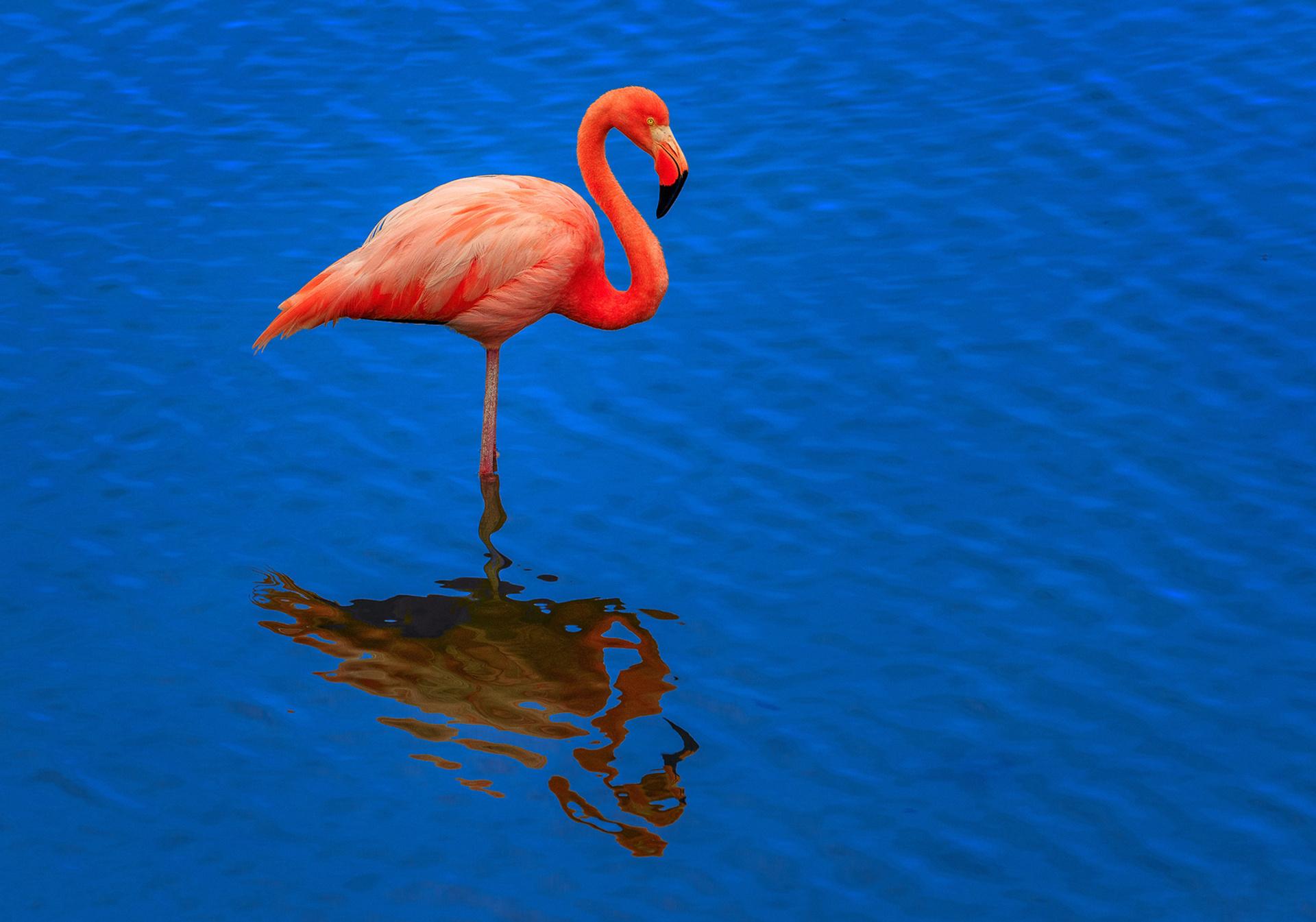 картинка с фламинго на голубом фоне дает