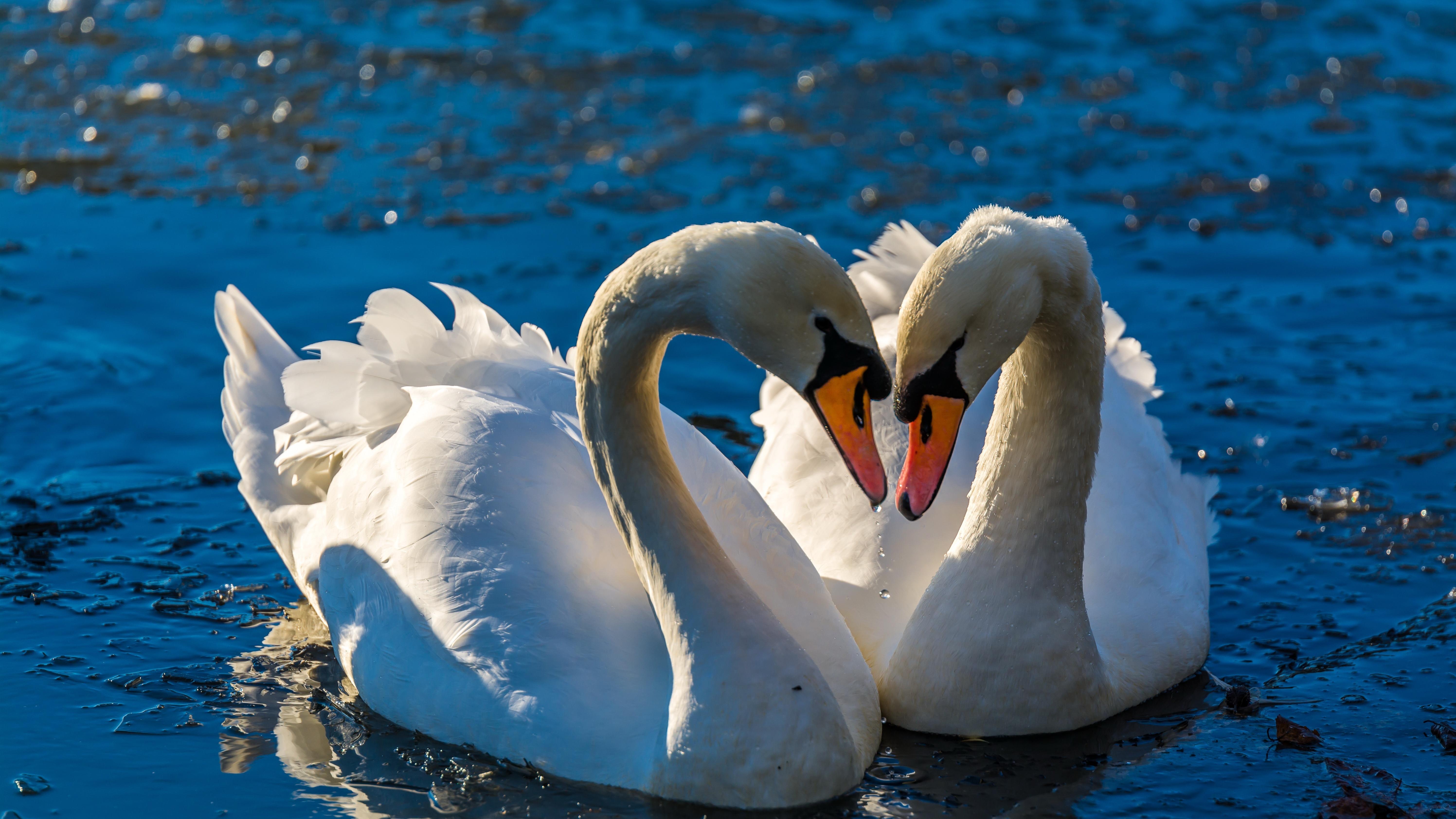 природа животные лебеди любовь загрузить