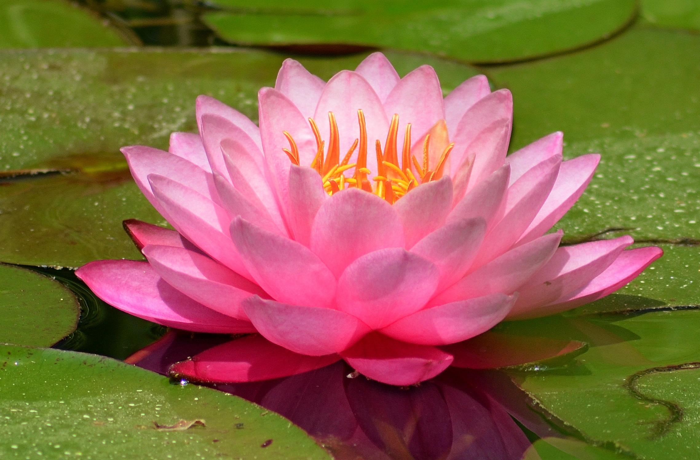 принципом кувшинки фото цветка ест рыбку