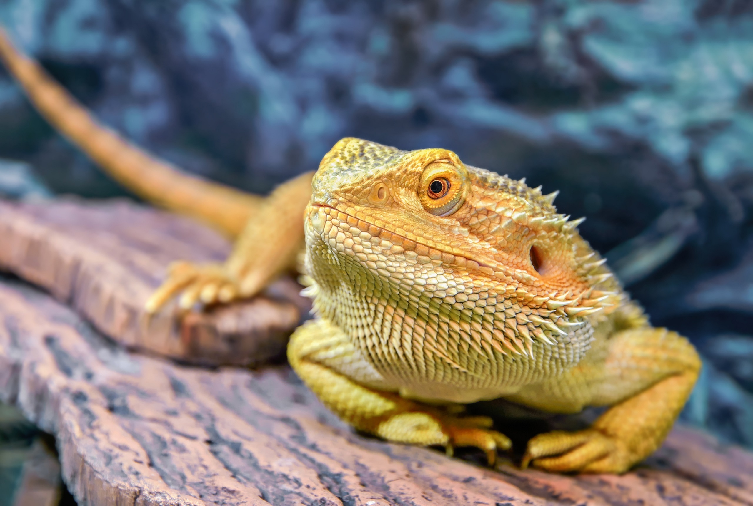 bearded lizard pictures - HD 1600×900