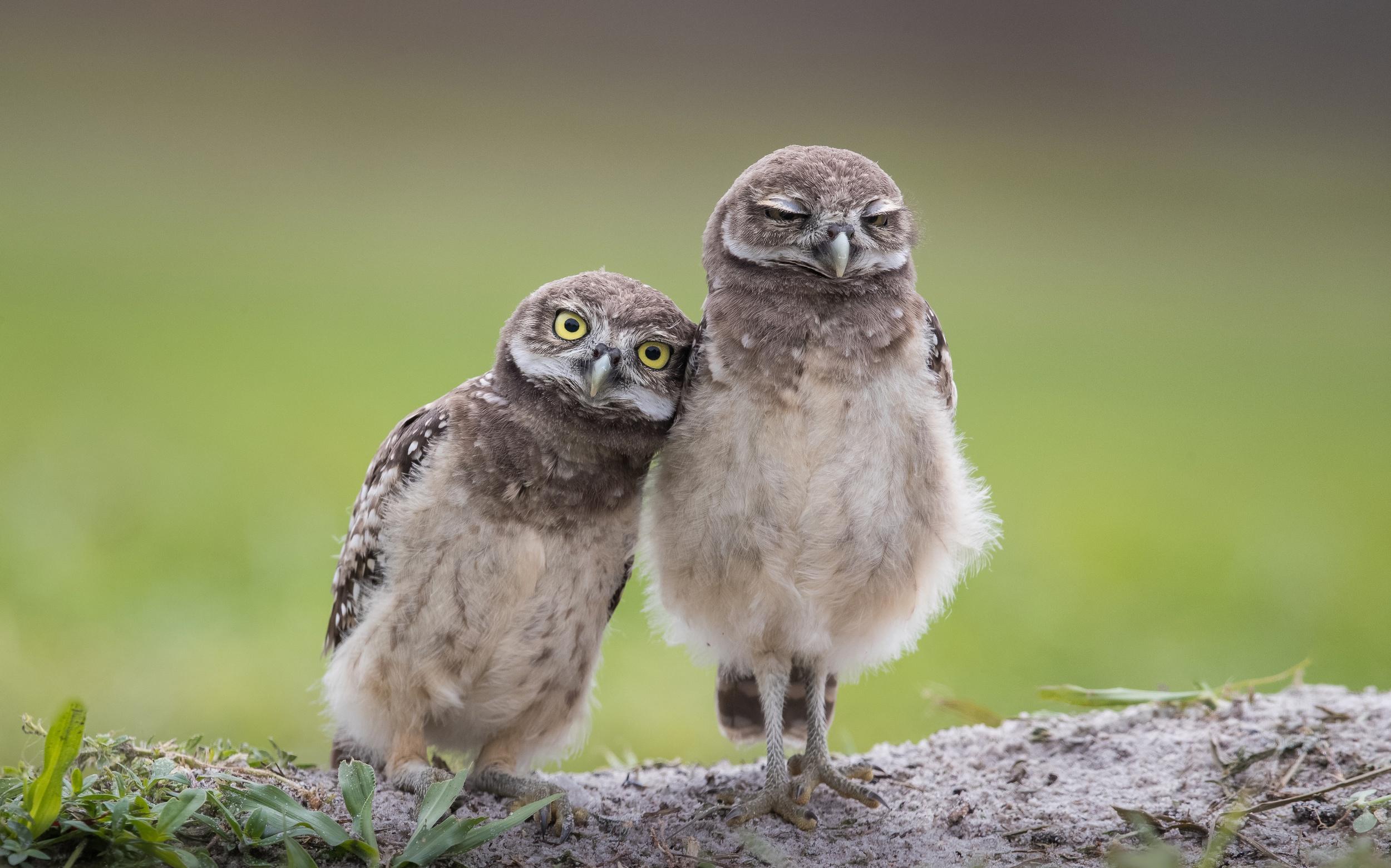 Картинки две совы
