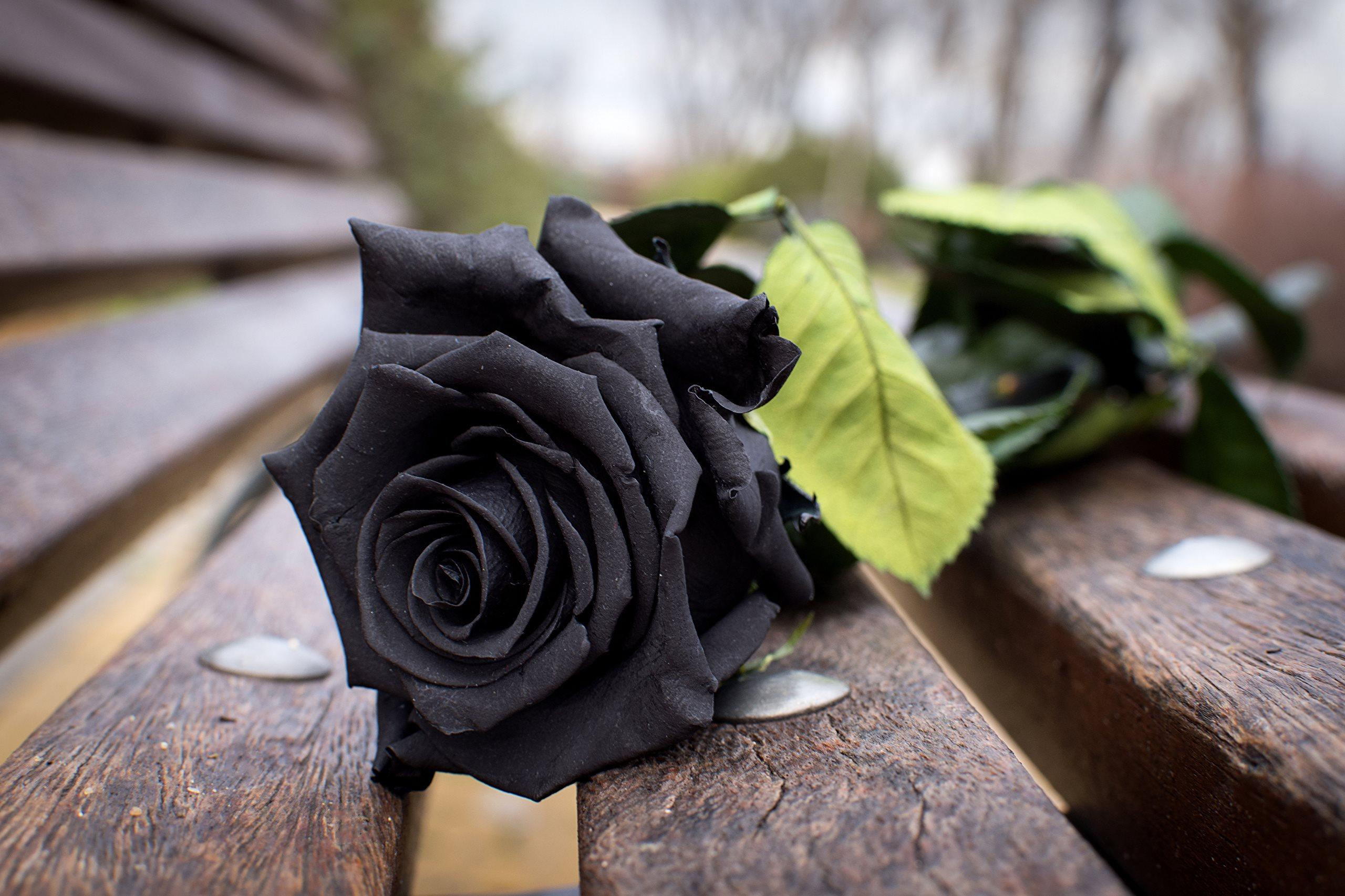 Розы чёрные цветы фото