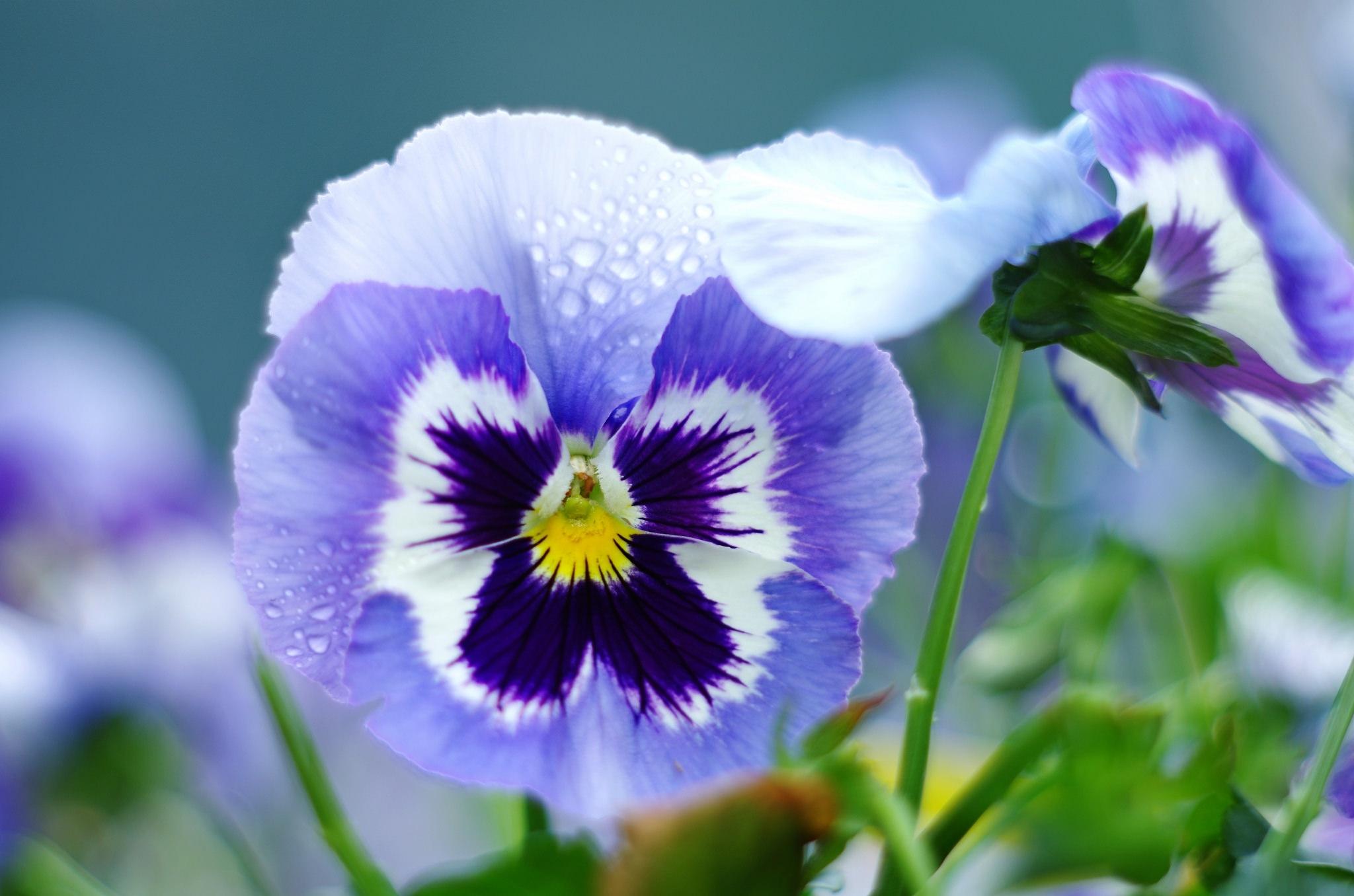 анютины глазки фото цветов хорошего разрешения злобная героиня