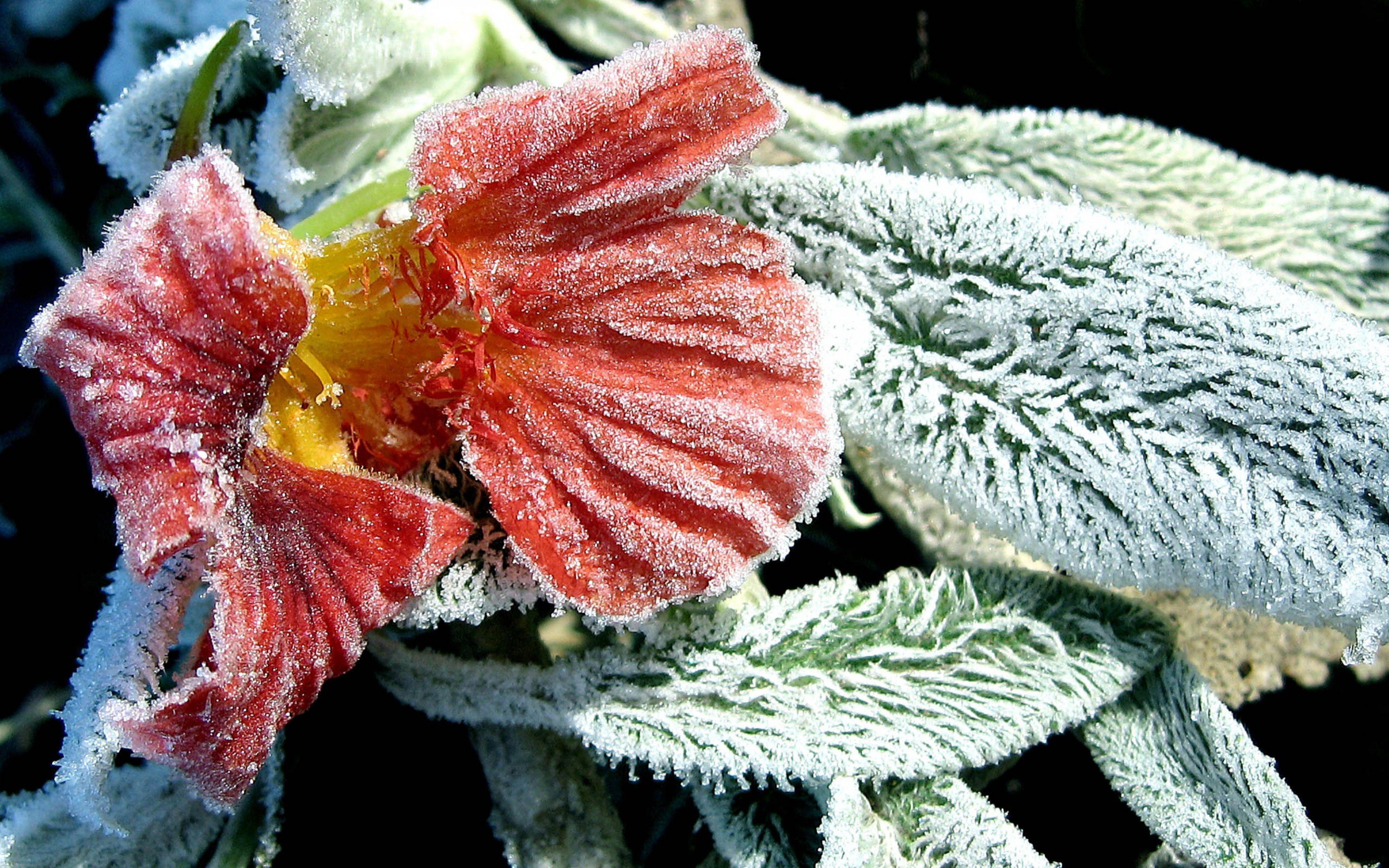 Цветы в инее без смс