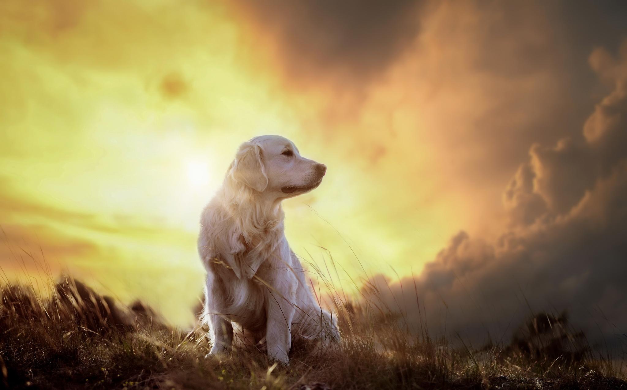 Красивые картинки ретривер на солнце