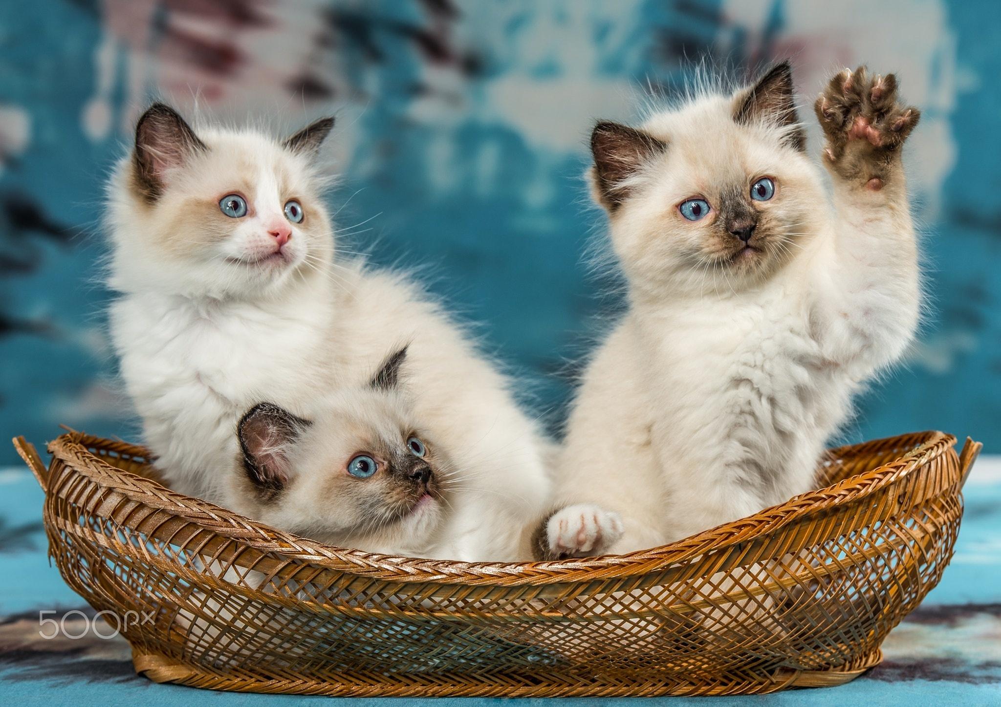 этой стрижки смотреть фото красивых кошек и котят положу
