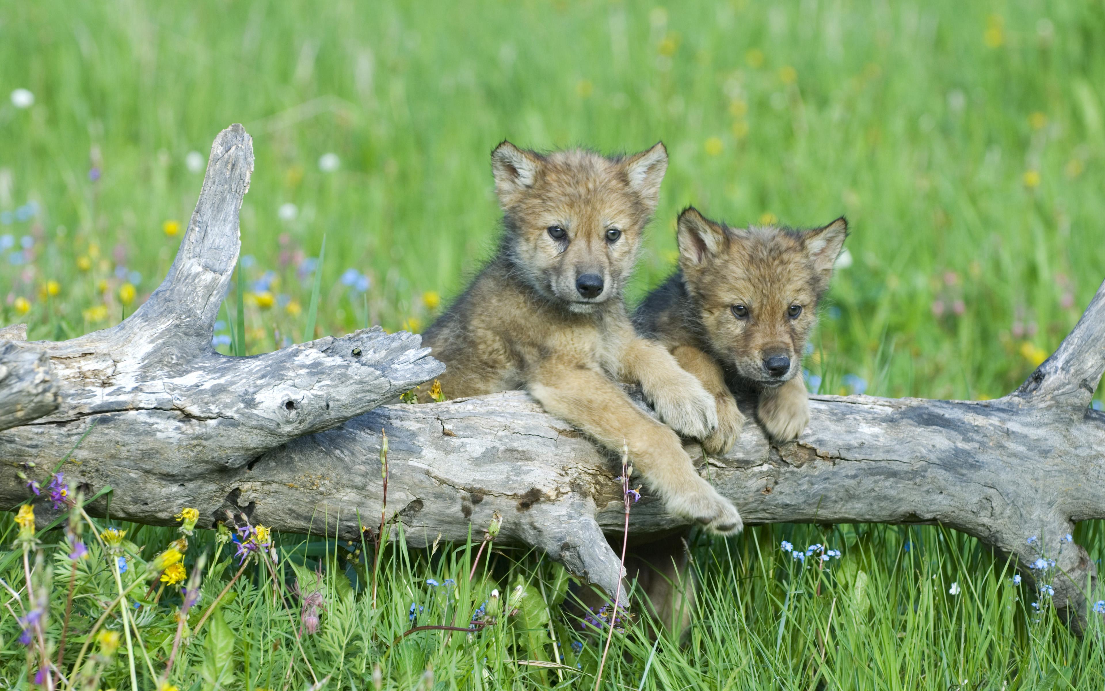 Детеныши волков картинки