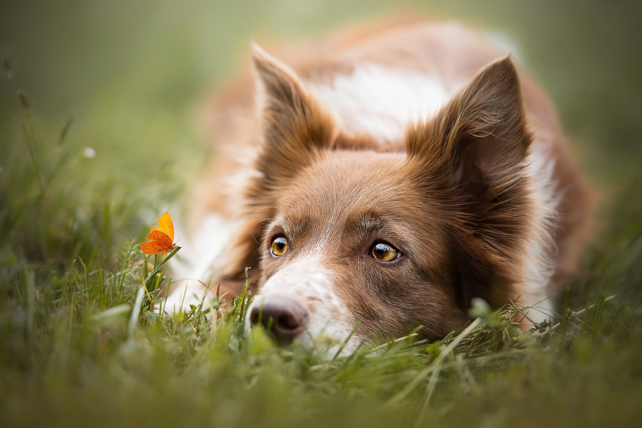 природа животные собака голова скачать