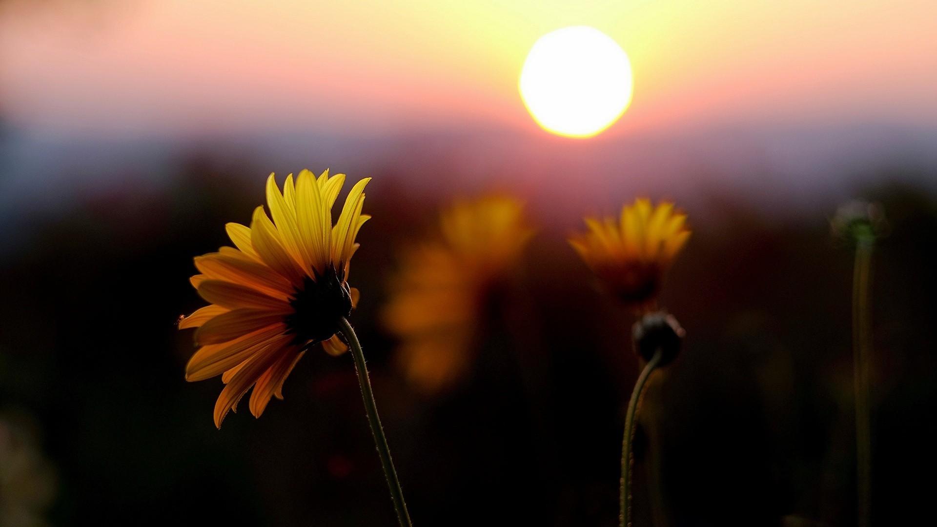 цветок закат макро скачать