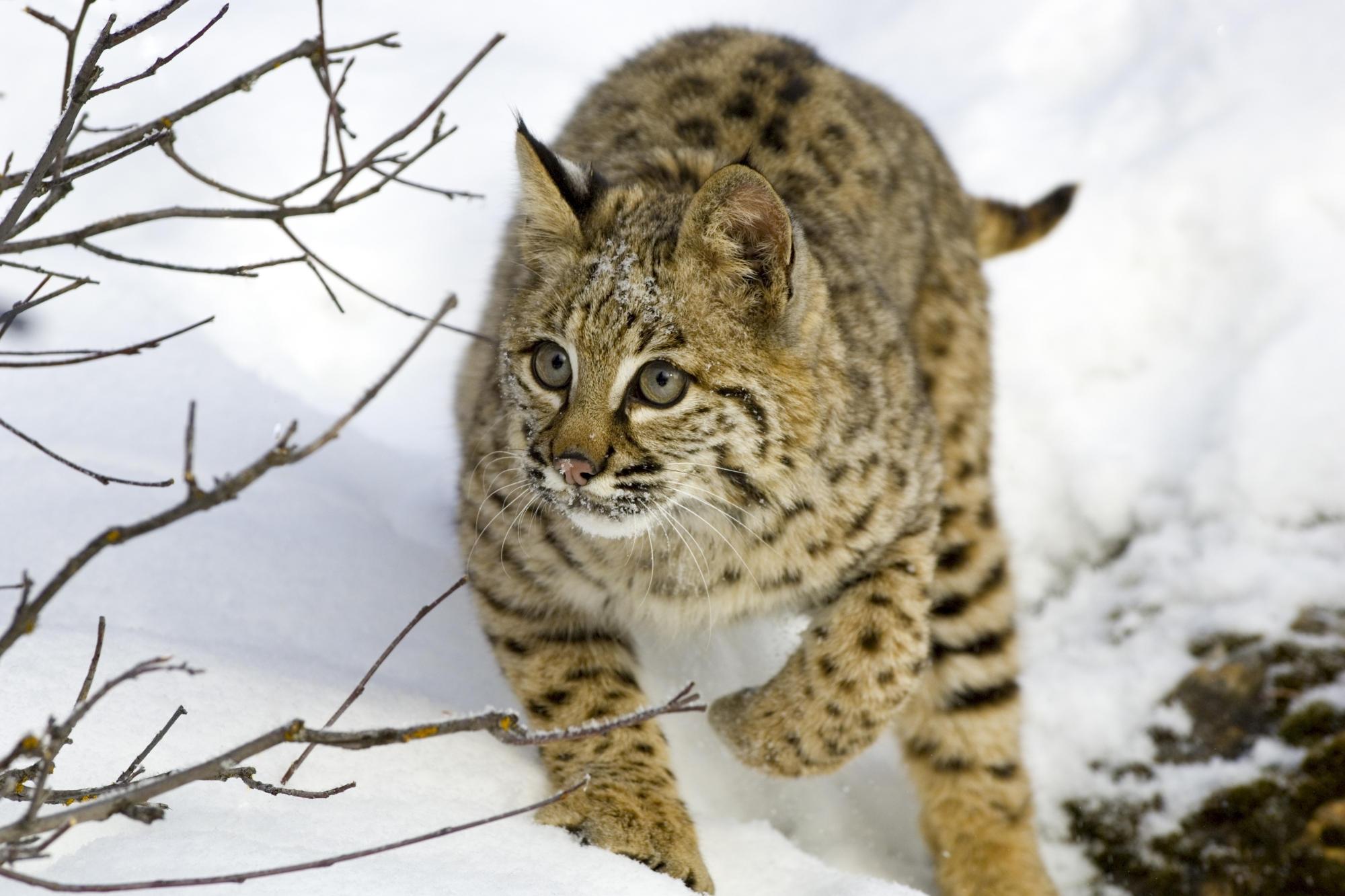 природа животные ветка деревья рысь nature animals branch trees lynx  № 559985 бесплатно