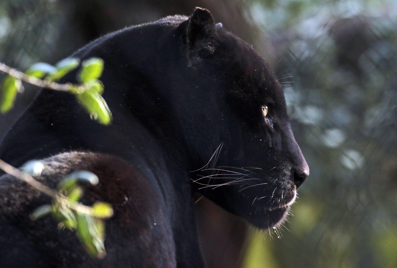 День, картинки с черной пантерой в джунглях