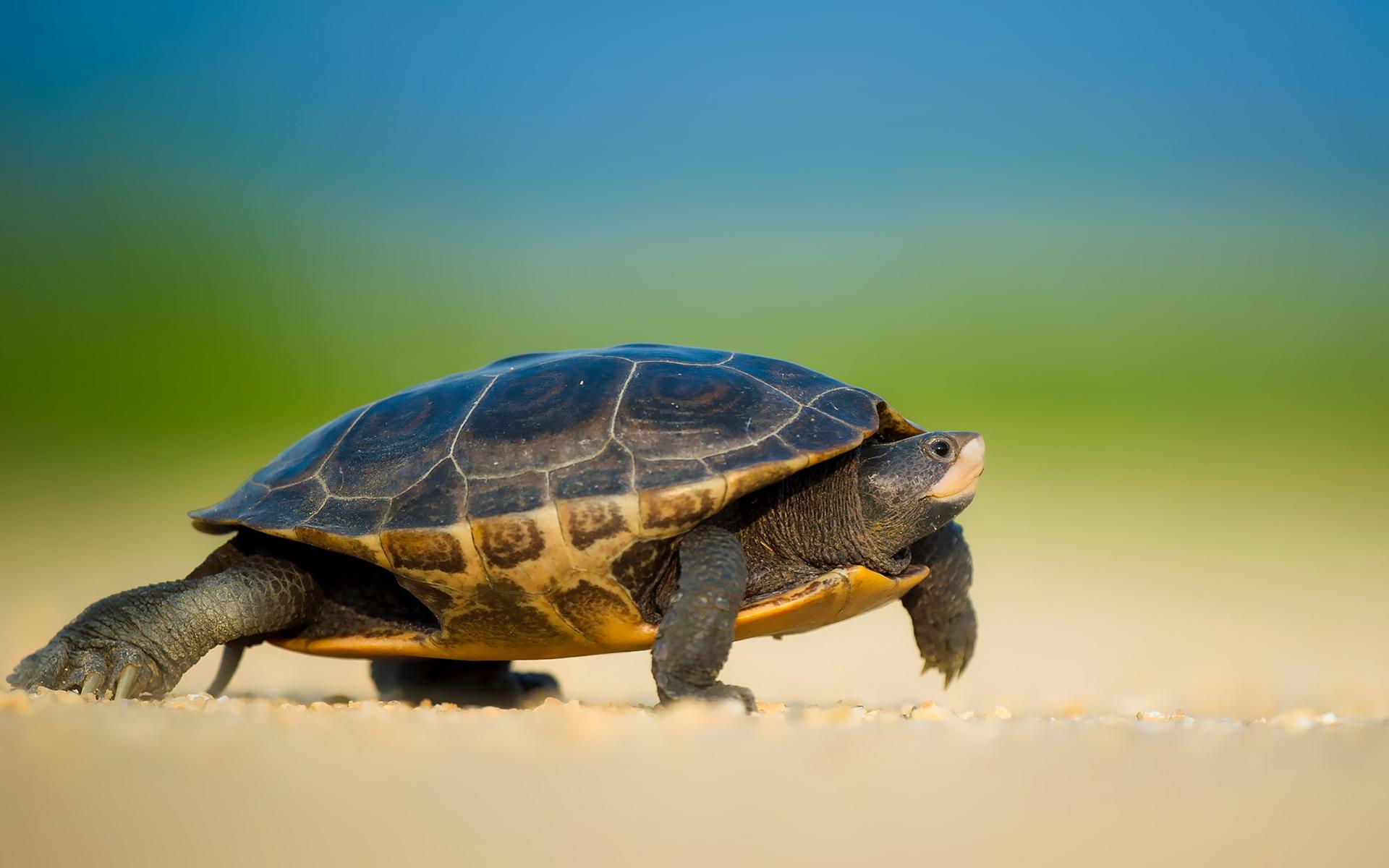 Картинки черепахи, вербным воскресением