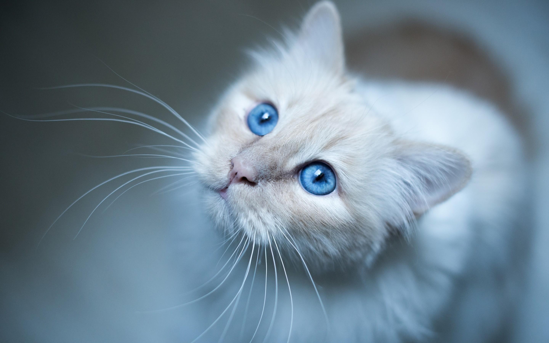 Голубоглазые кота  № 3010582 бесплатно