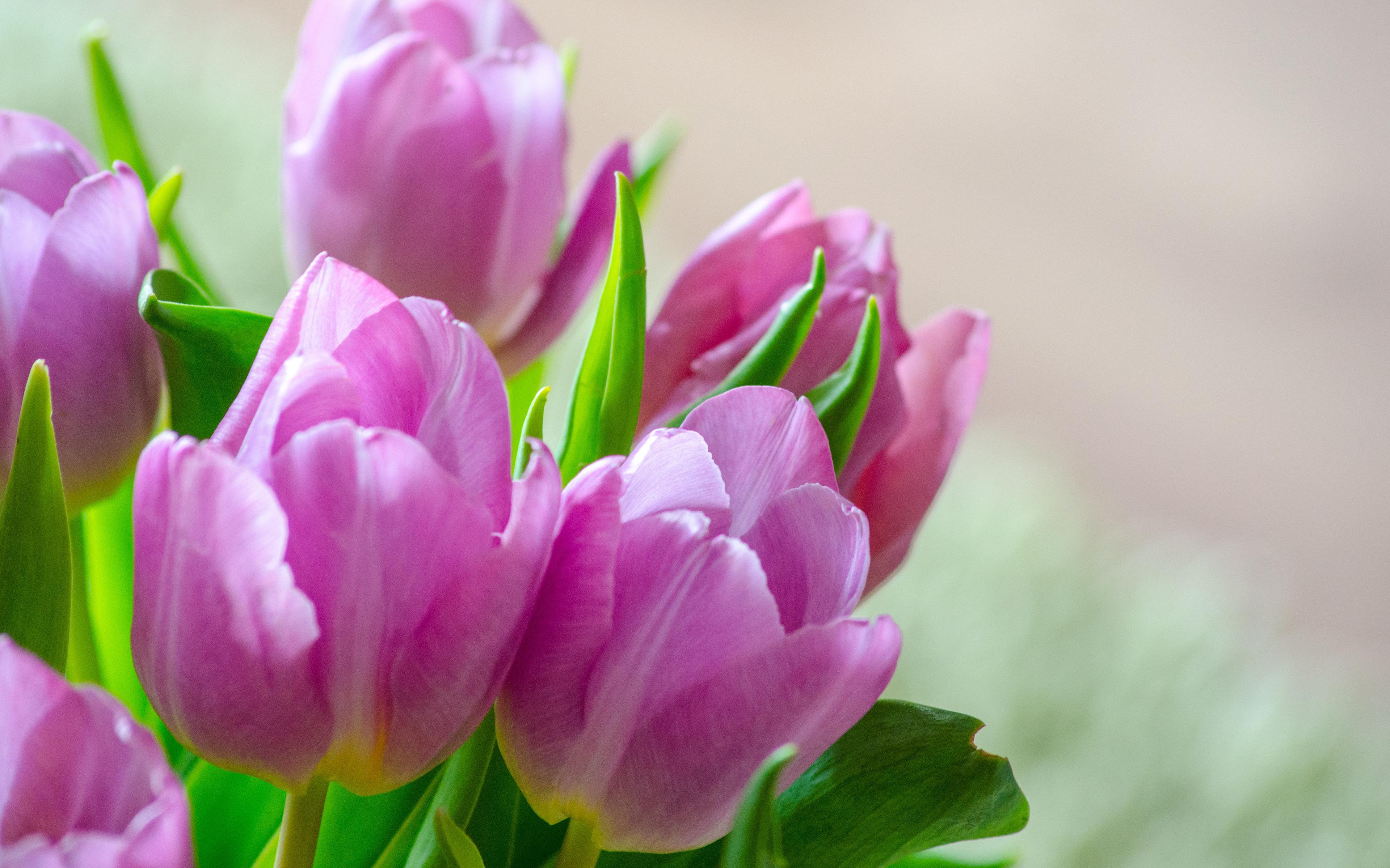 тюльпаны цветы фокус без смс