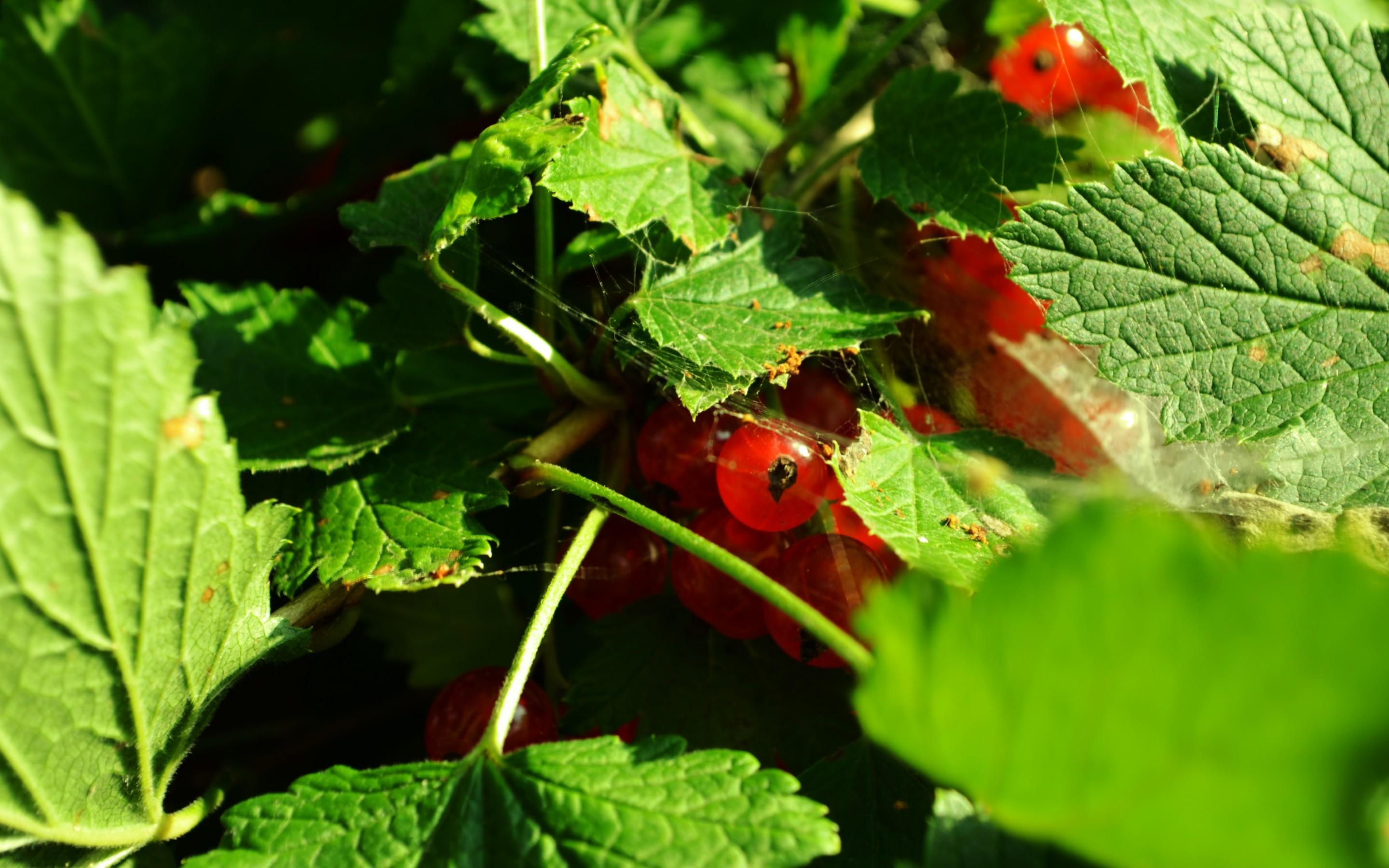 природа ягоды смородина nature berries currant скачать