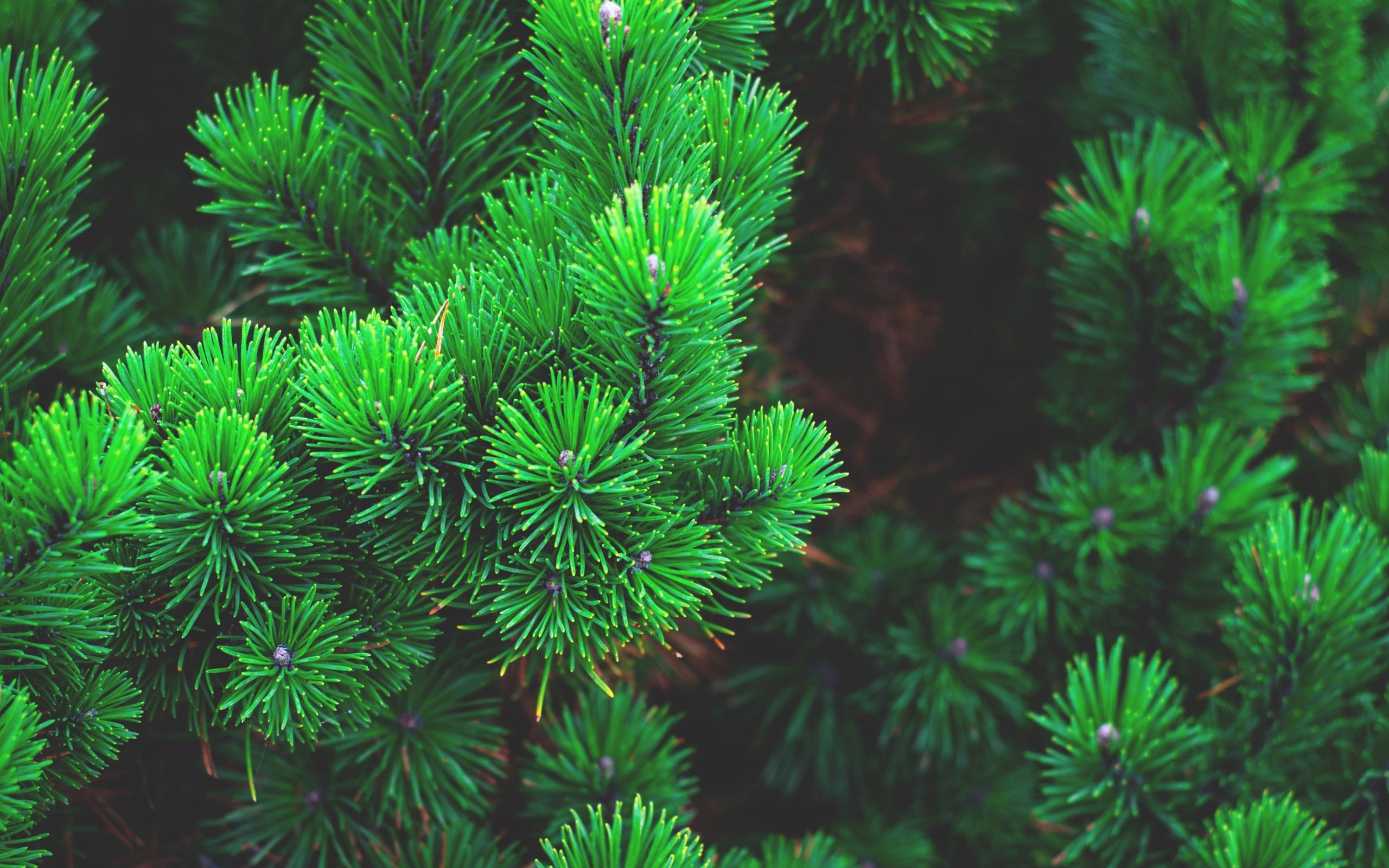 природа деревья ель  № 316195 без смс