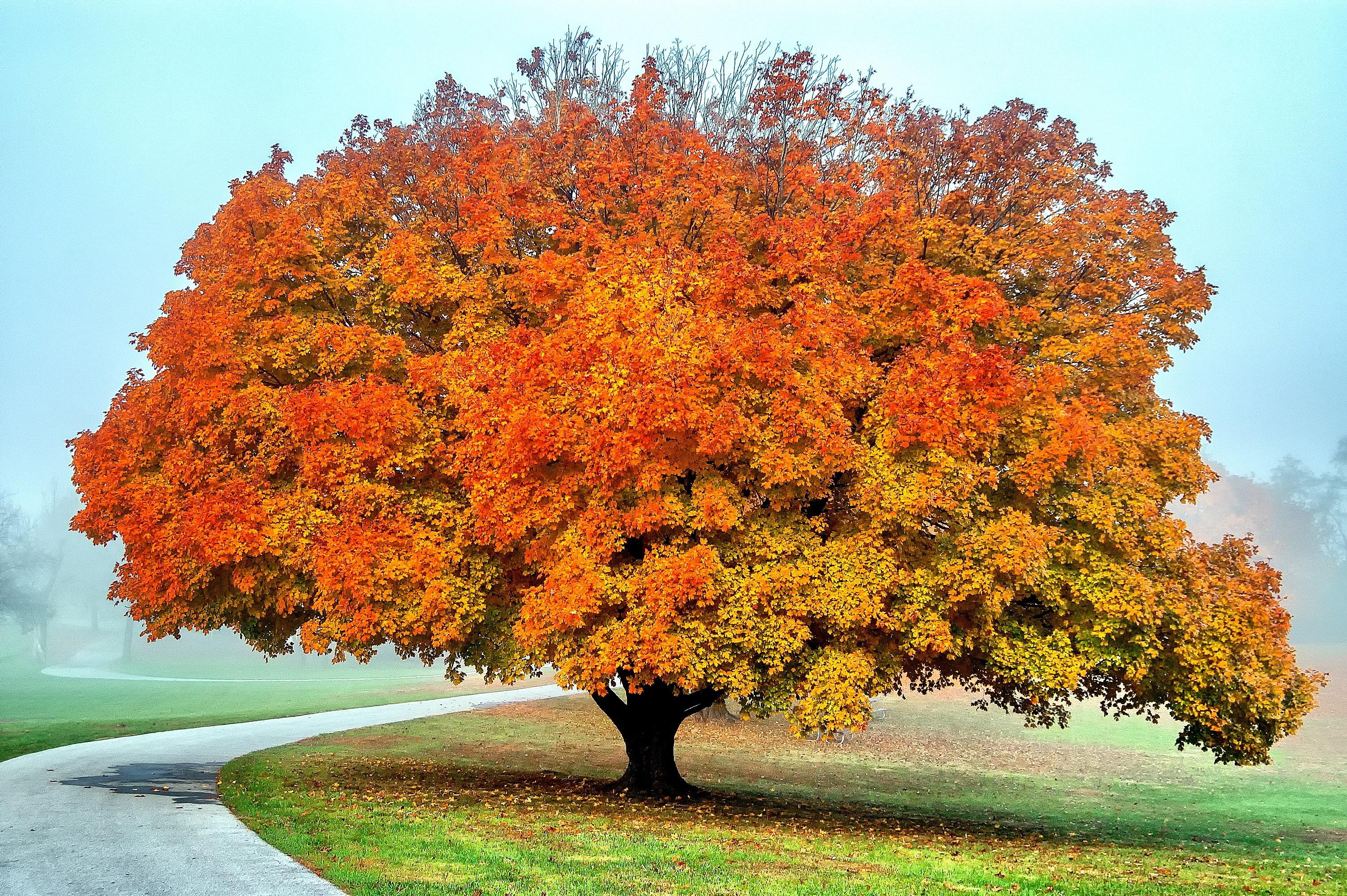 Осенний дуб картинки
