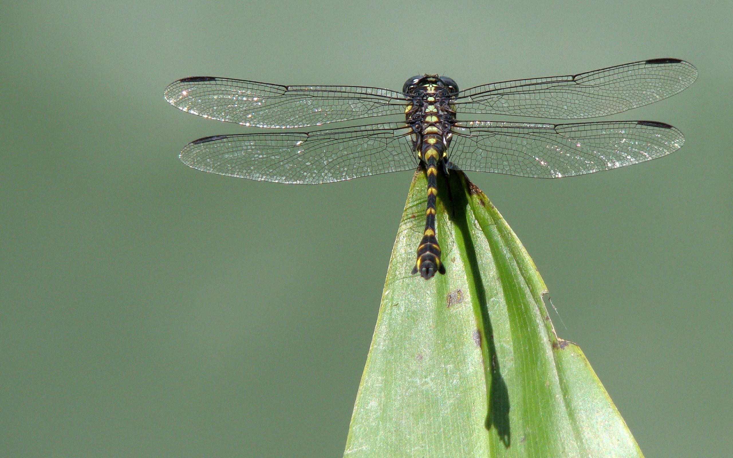 природа макро животные насекомое стрекоза  № 2748102 загрузить