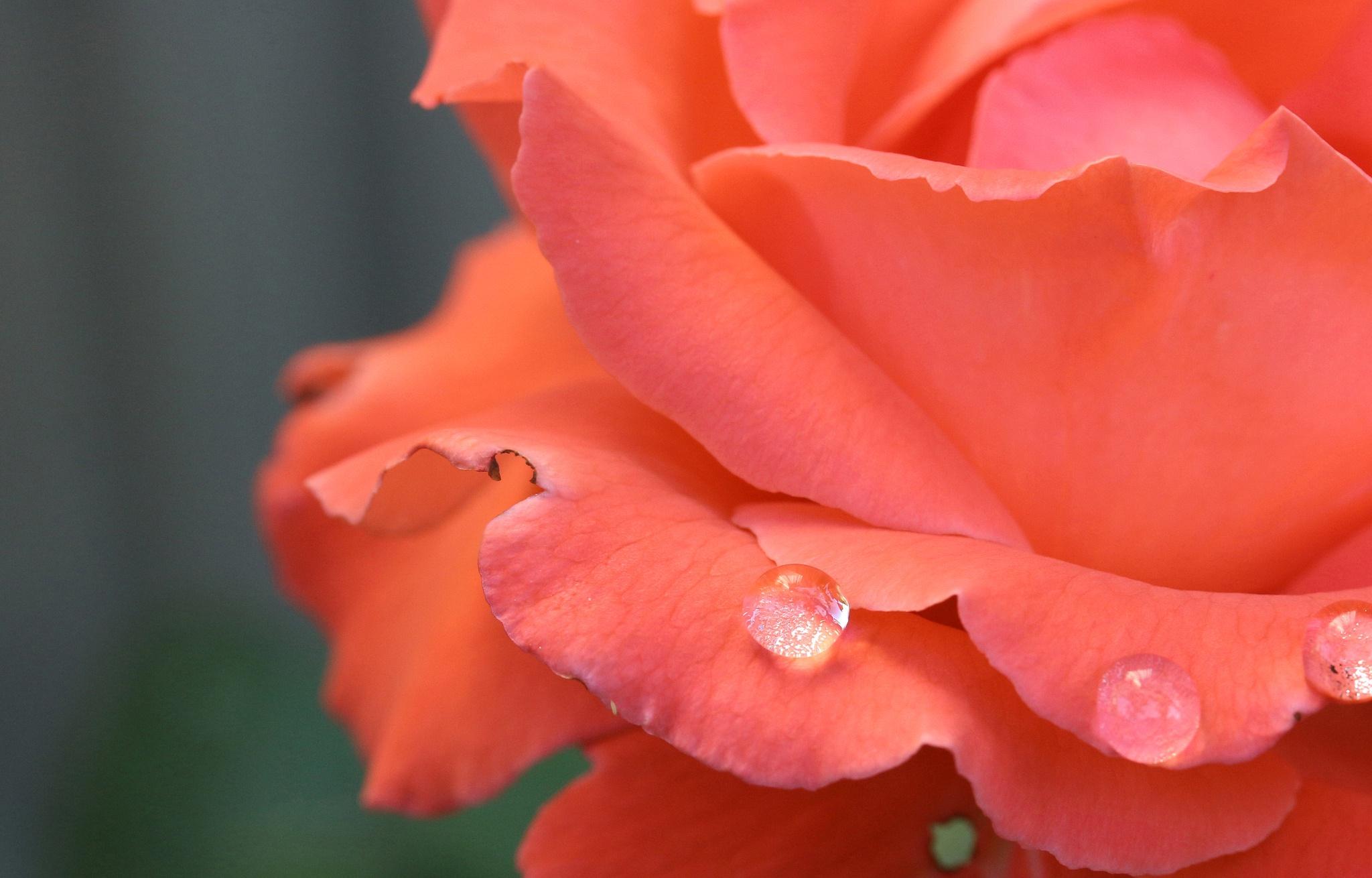 Роса на лепестках розы  № 2451526 загрузить