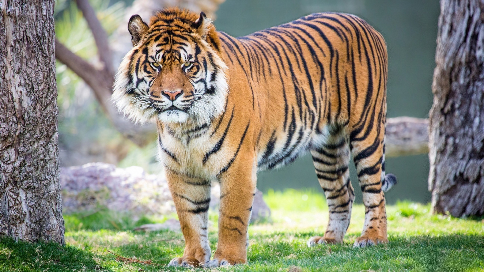 Tiger Species Thought Extinct Is Possibly Spotted in Pictures of javan tiger