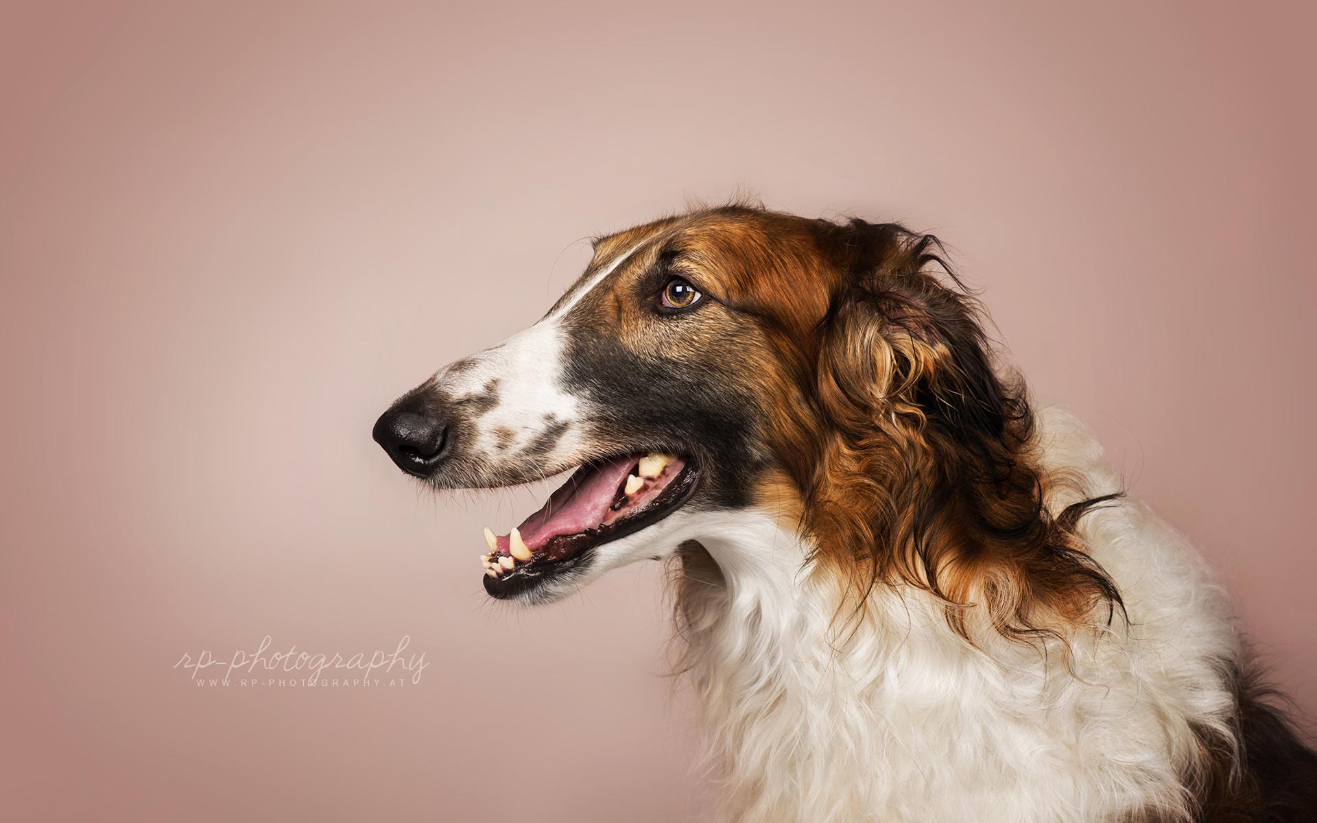 картинки собак русская борзая фото поздравить днём рожденья