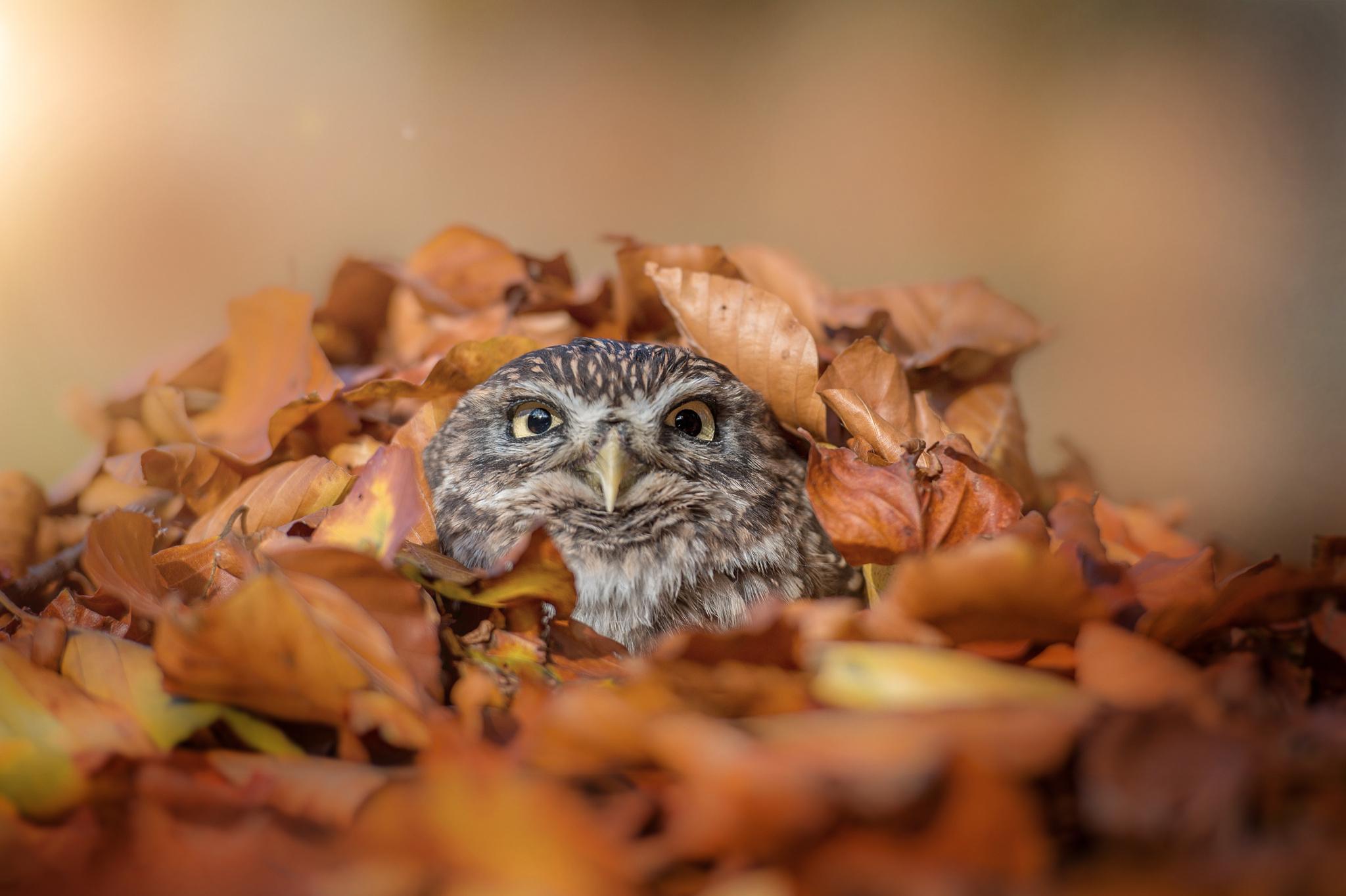 природа животные сова птицы осень листья бесплатно