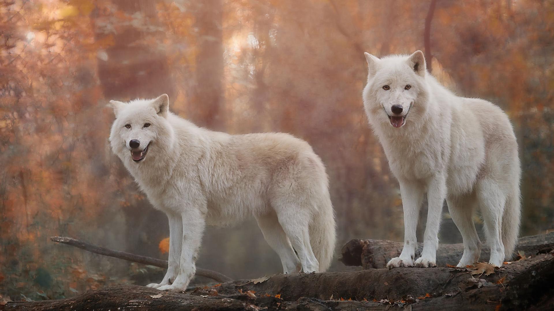 Открыток февраля, картинки белый волк