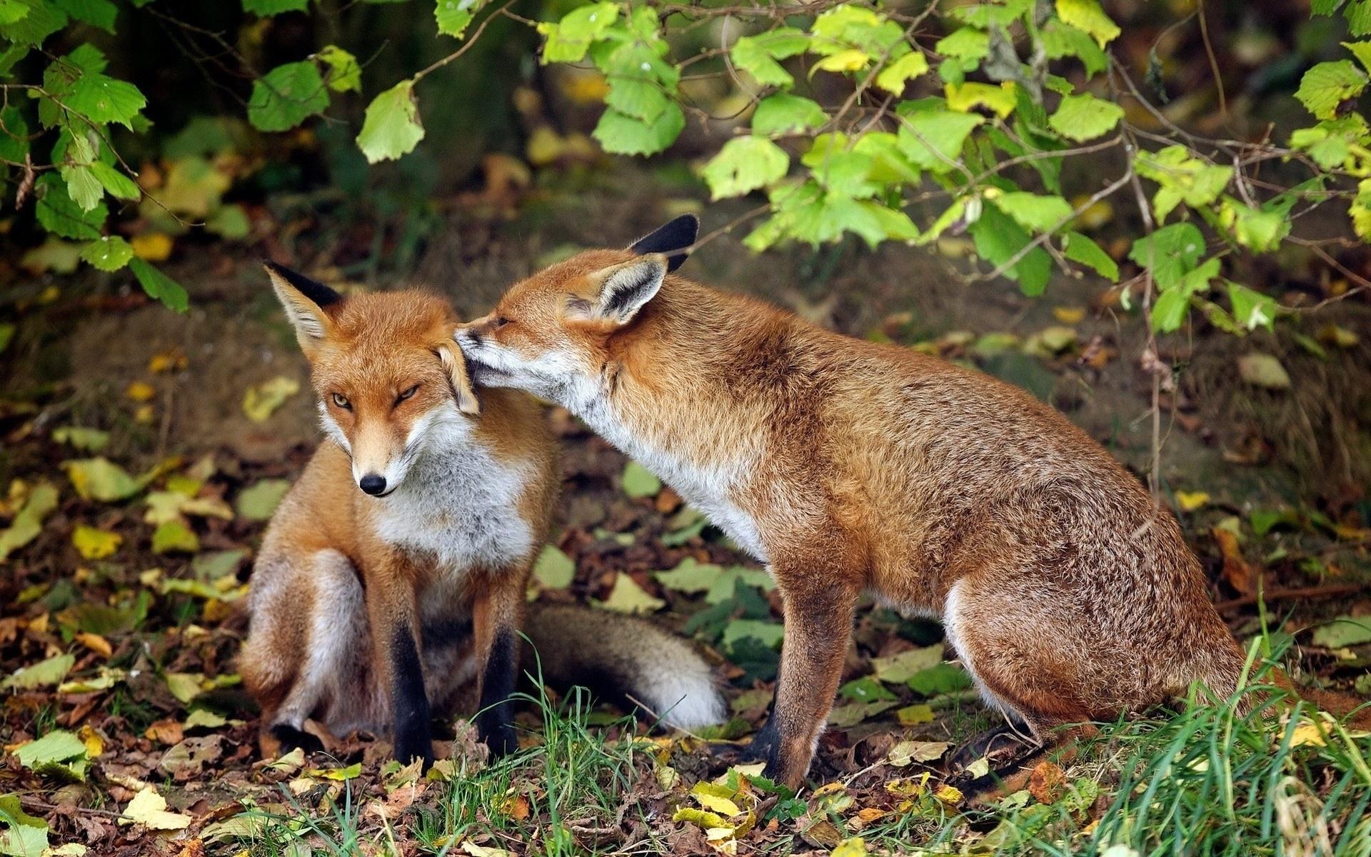 Присоединился лисица у курнику фото красивых лифчиках