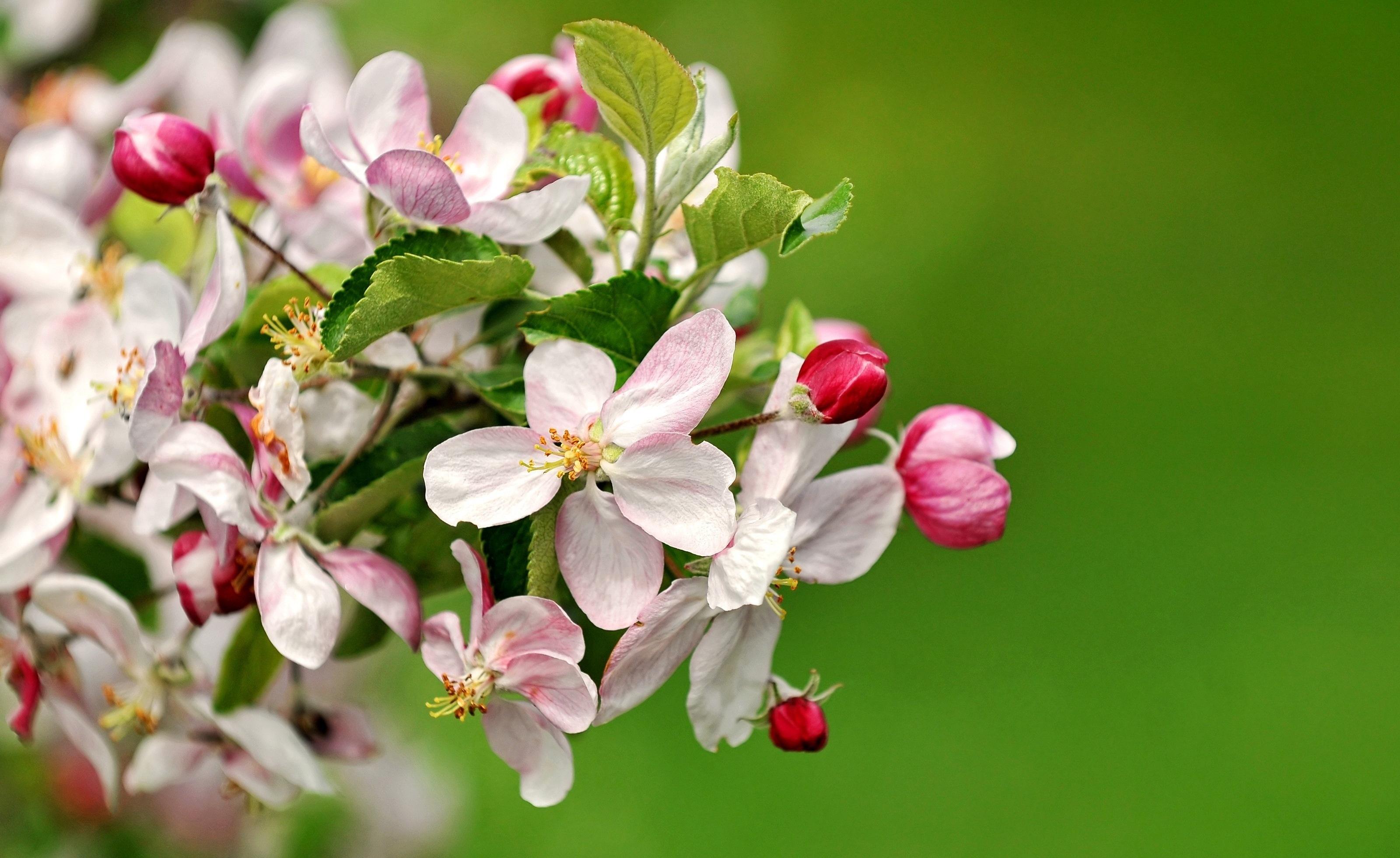 Цветущая яблоня картинки большой размер, картинки