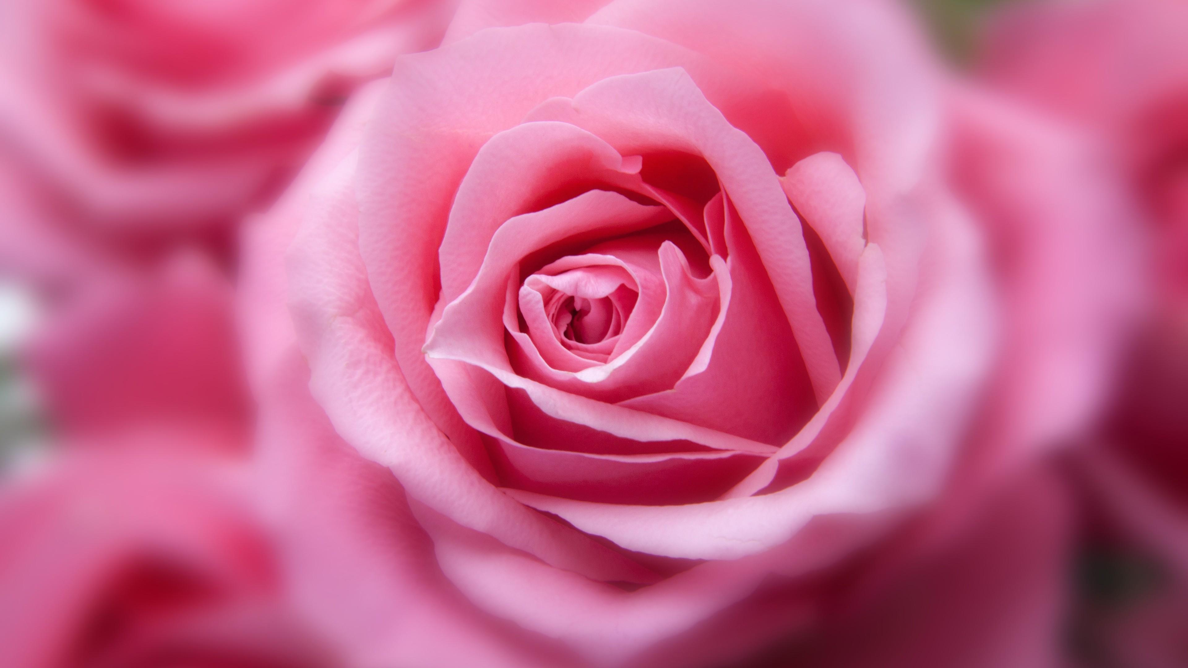 Картинки цветов розовых